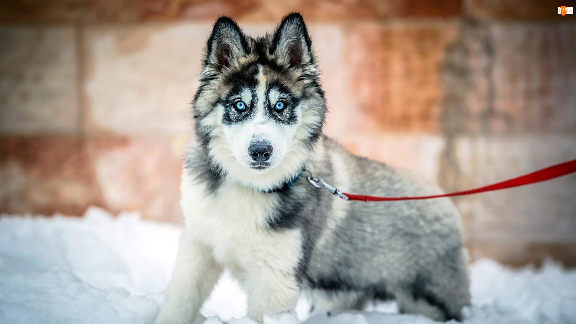 Siberian husky, Smycz, Szczeniak, Pies, Czerwona