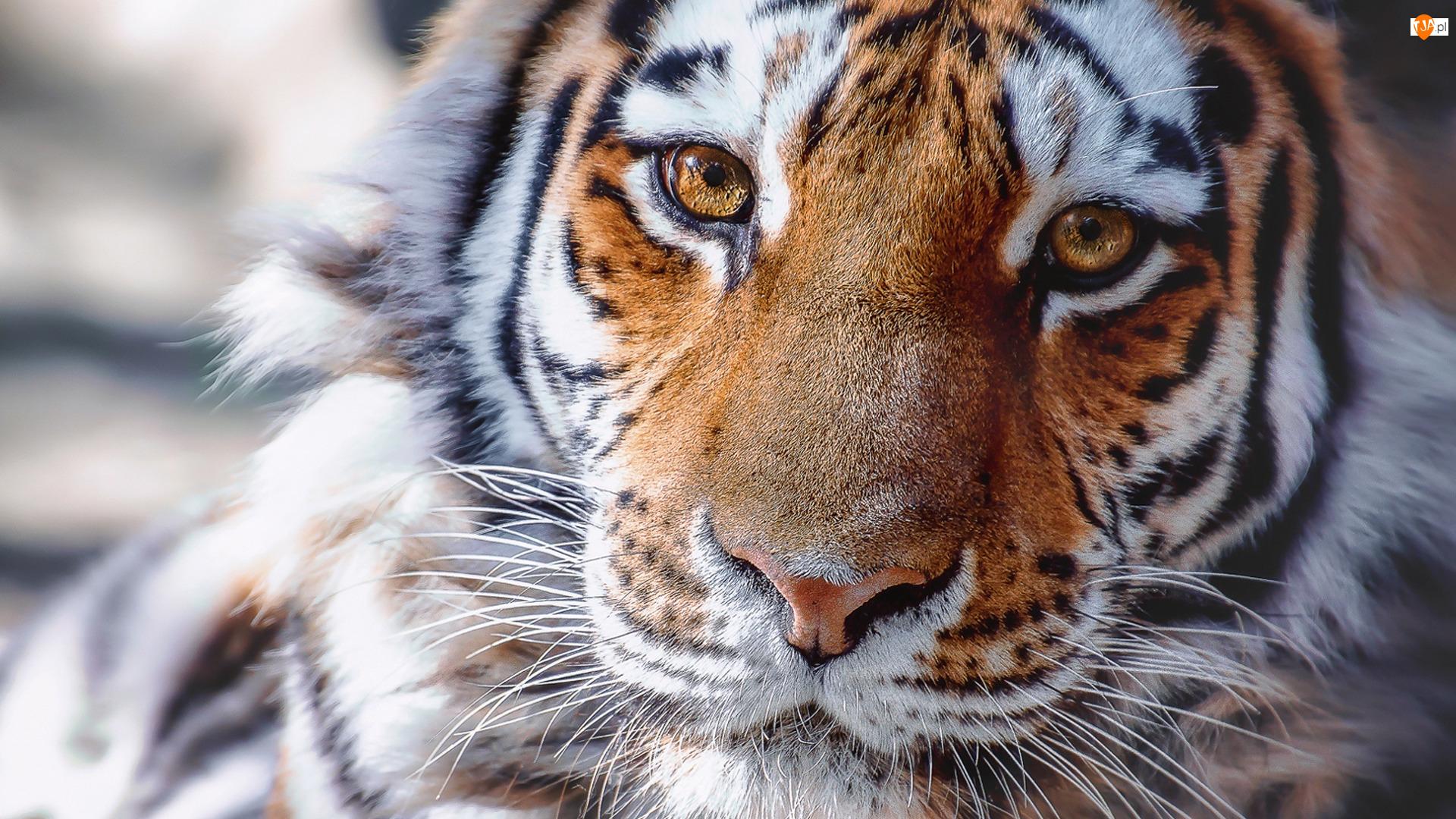 Spojrzenie, Tygrys, Głowa