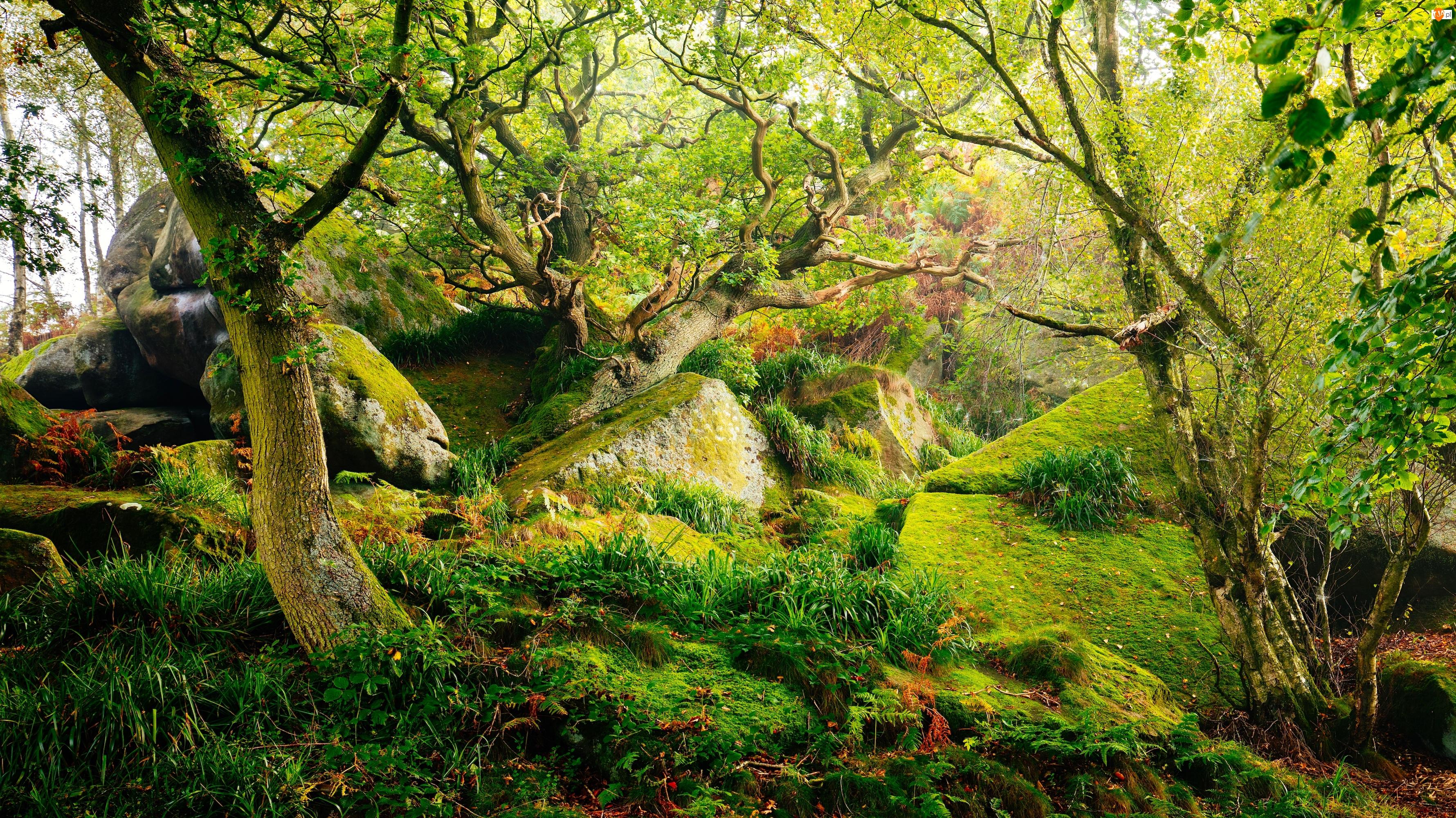Park Narodowy Peak District, Las, Mech, Hrabstwo Derbyshire, Drzewa, Kamienie, Anglia, Trawa