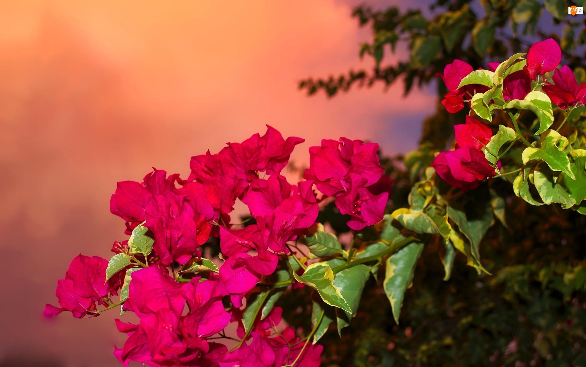 Gałązka, Różowe, Kwiaty, Bugenwilla