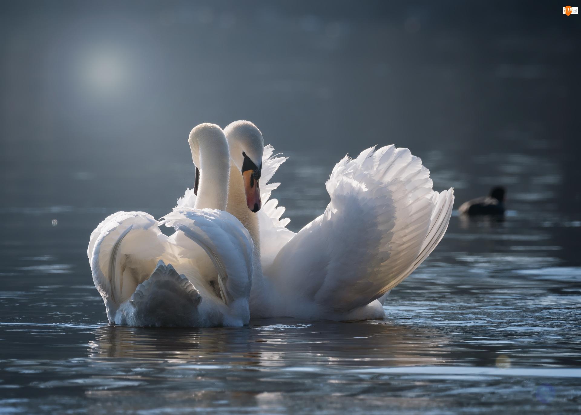 Łabędzie, Dwa, Ptaki, Białe