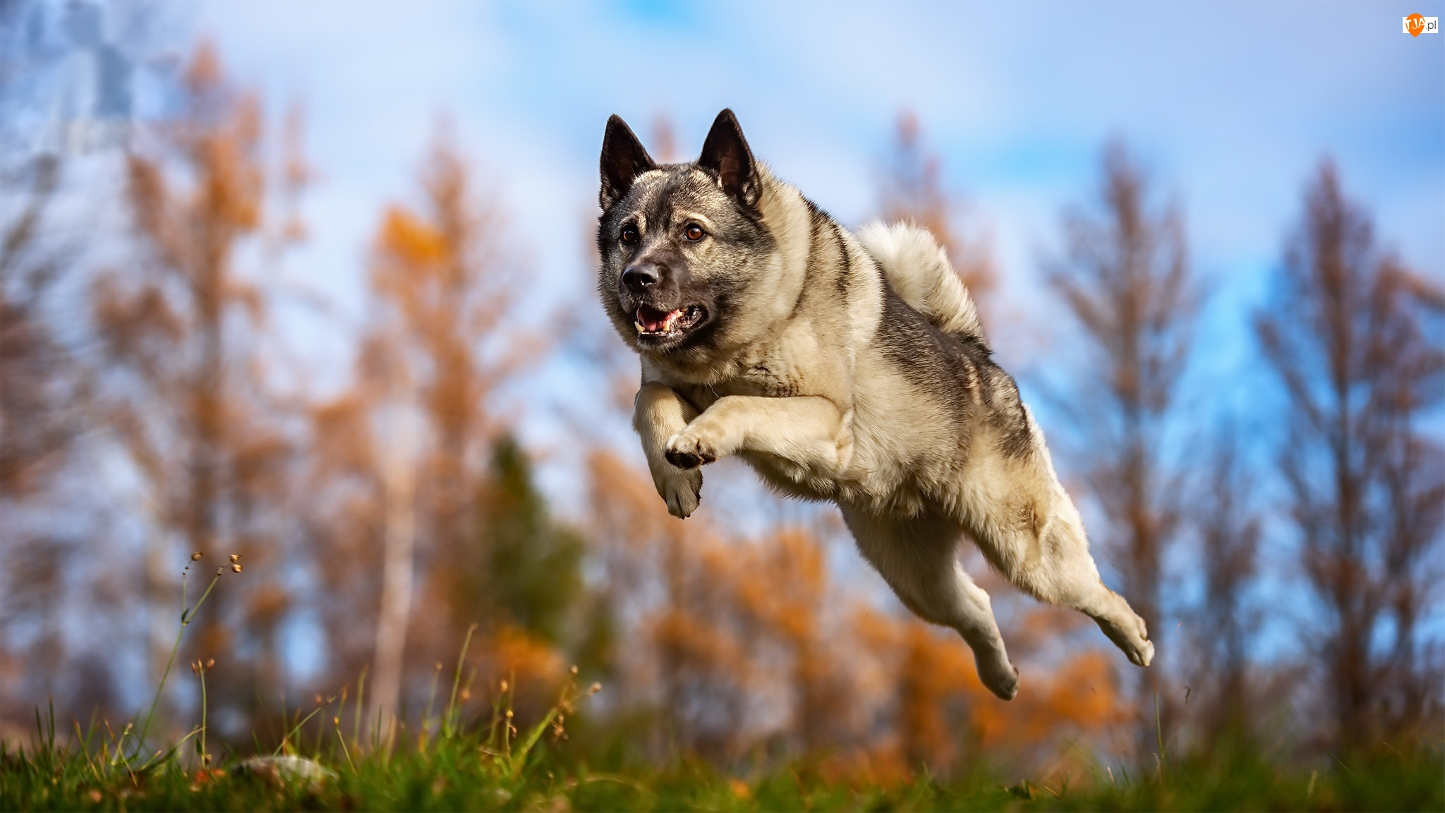 Skok, Pies, Bieg