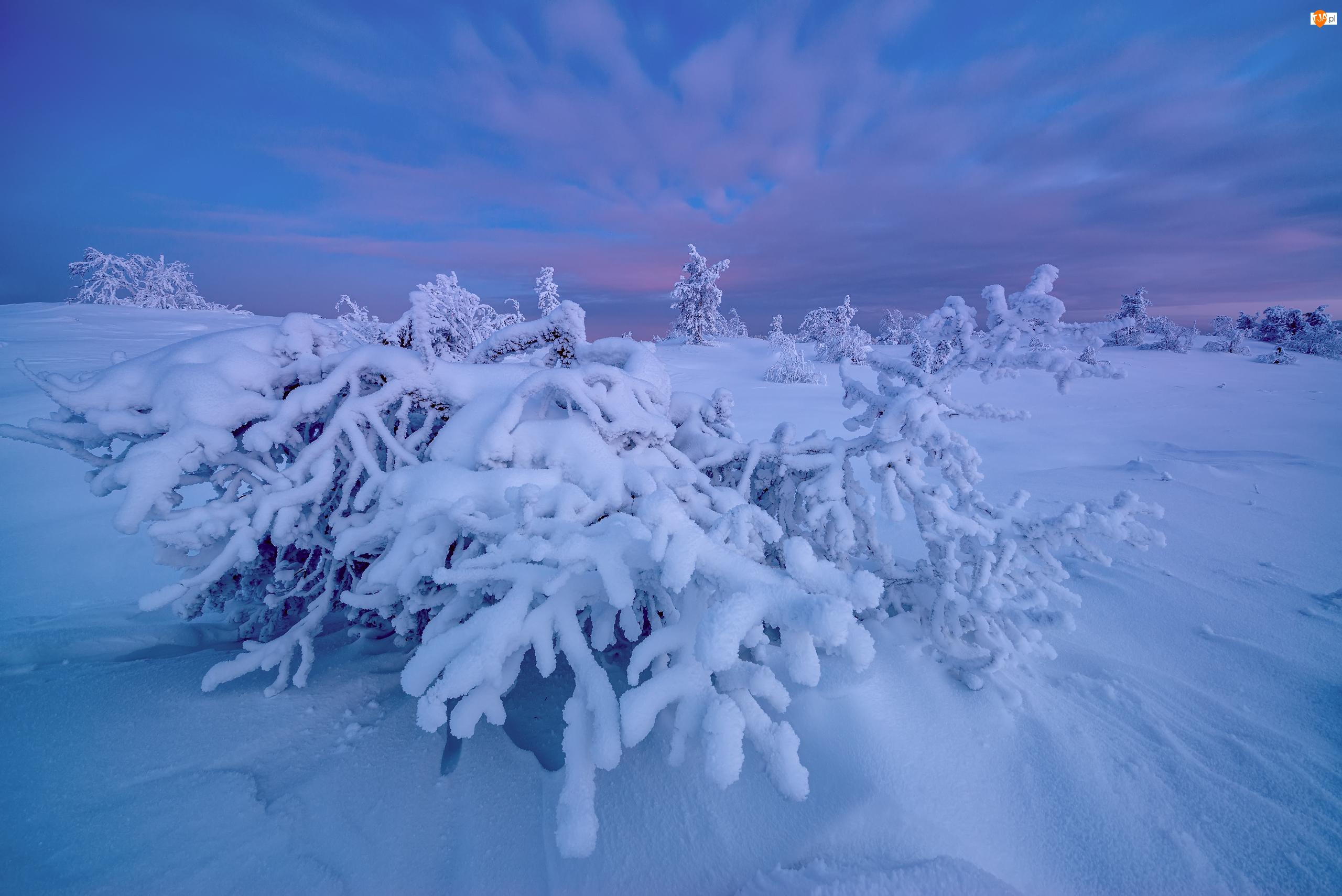 Kandałaksza, Zima, Rośliny, Obwód murmański, Śnieg, Krzewy, Rosja, Ośnieżone