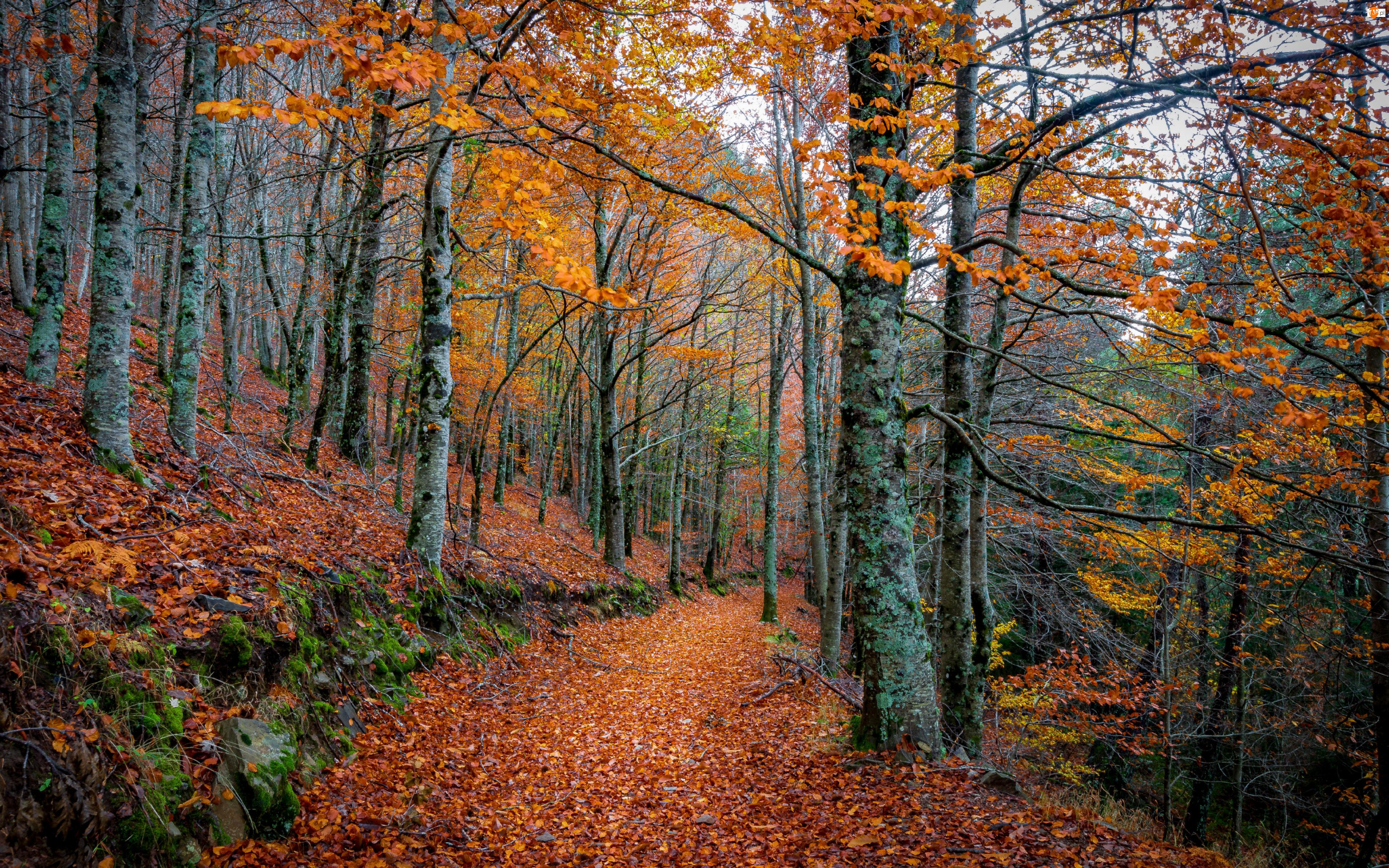 Ścieżka, Jesień, Drzewa, Las, Liście