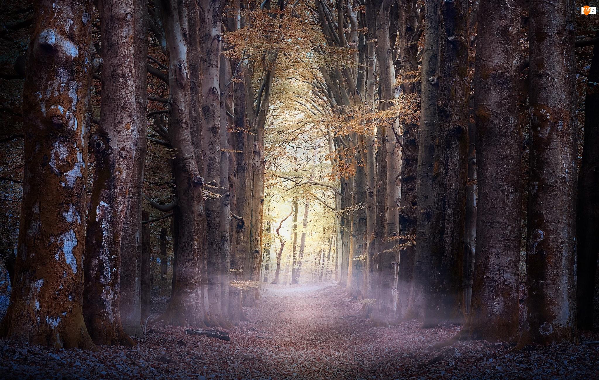 Las, Mgła, Drzewa, Wysokie, Droga