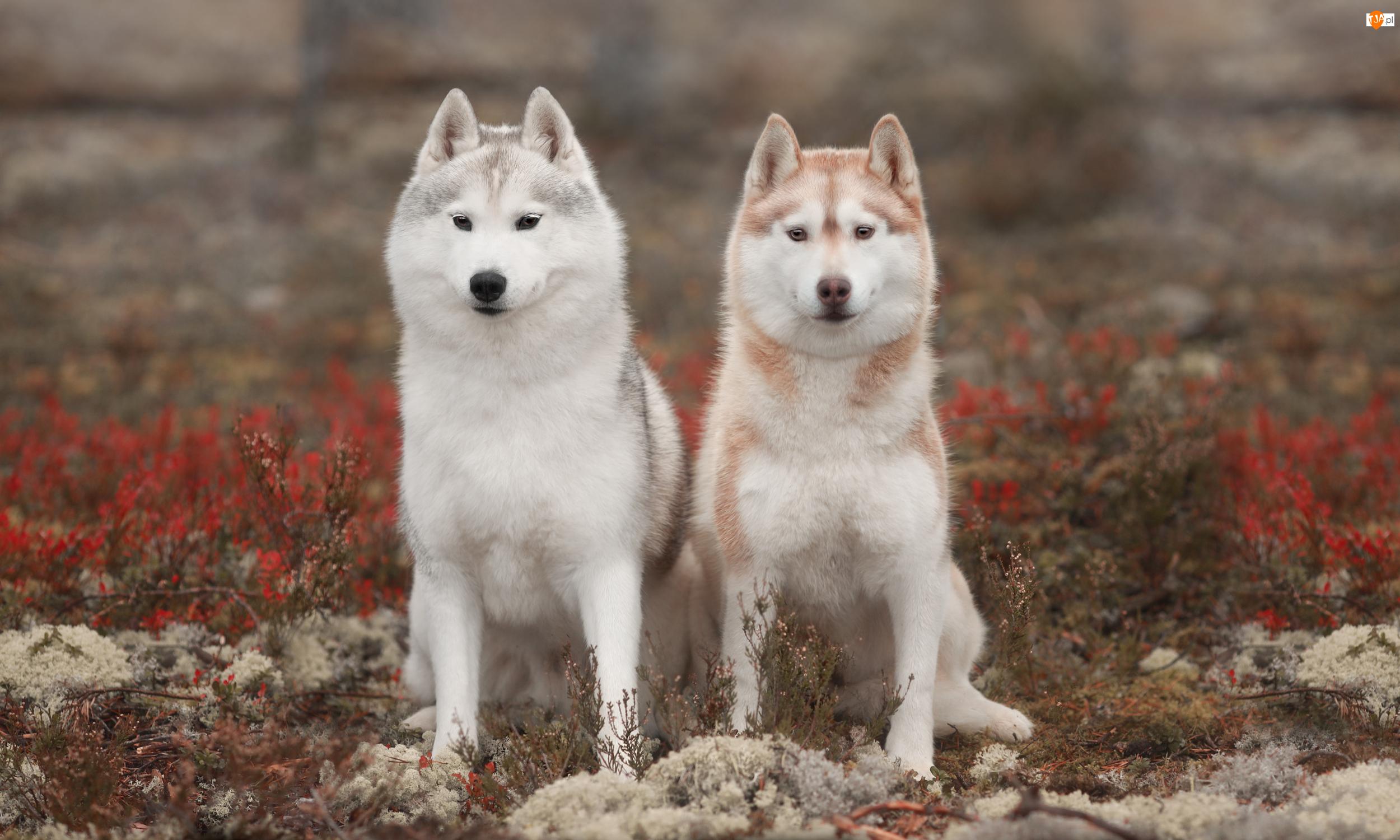 Rośliny, Dwa, Psy, Siberian husky