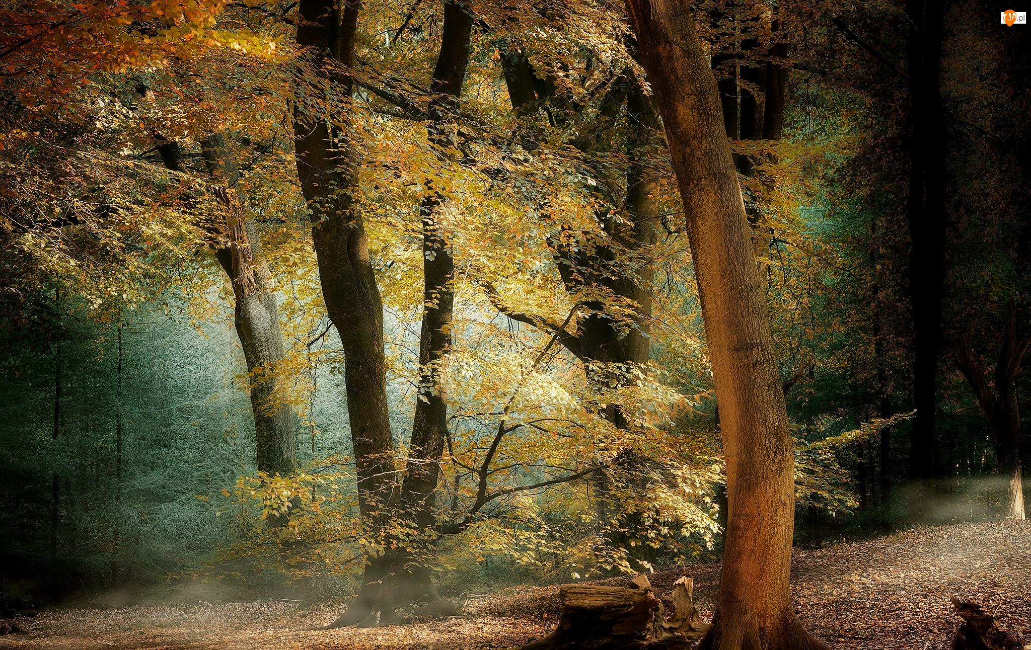 Jesień, Drzewa, Światło, Las, Pień, Kolorowe, Liście