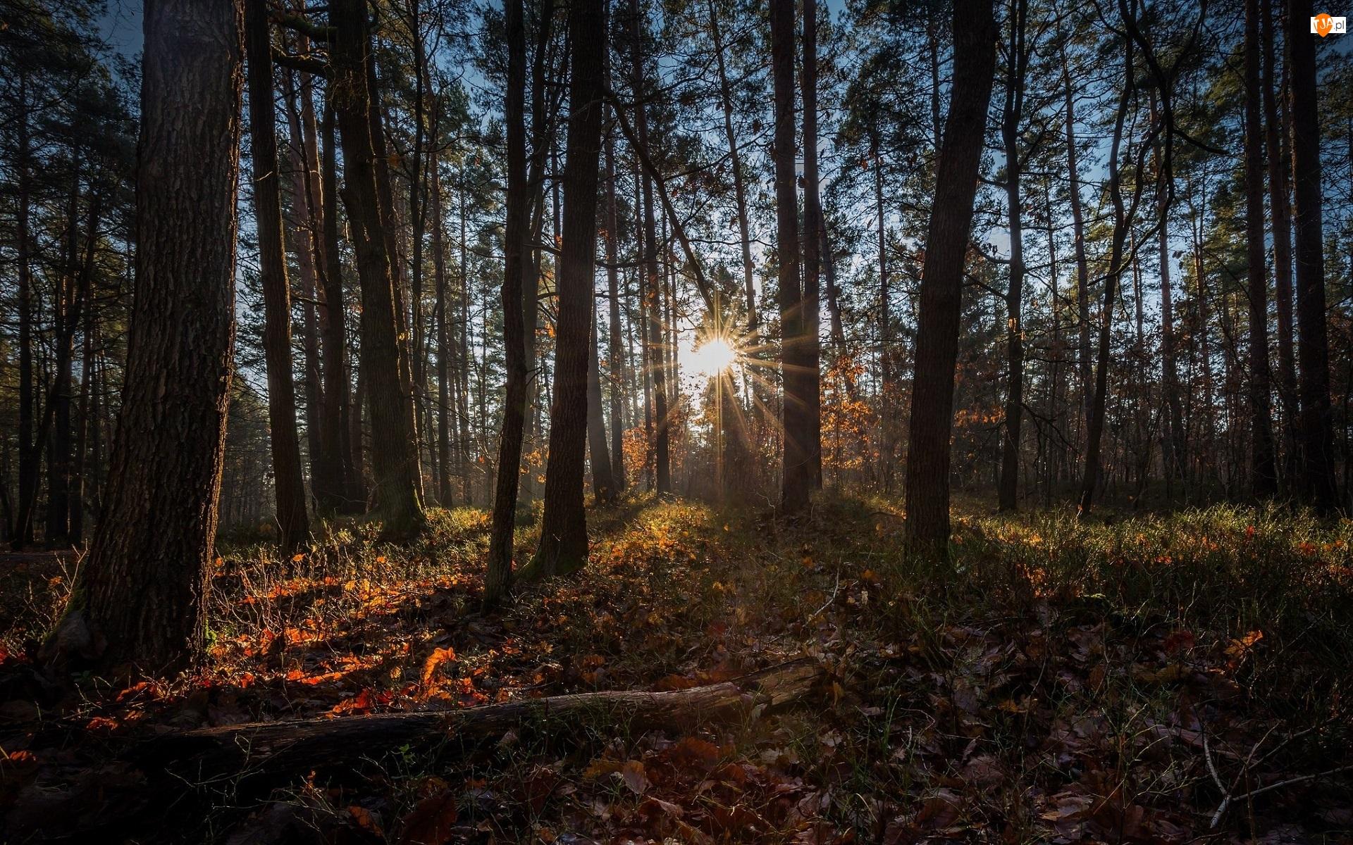 Promienie słońca, Drzewa, Las iglasty