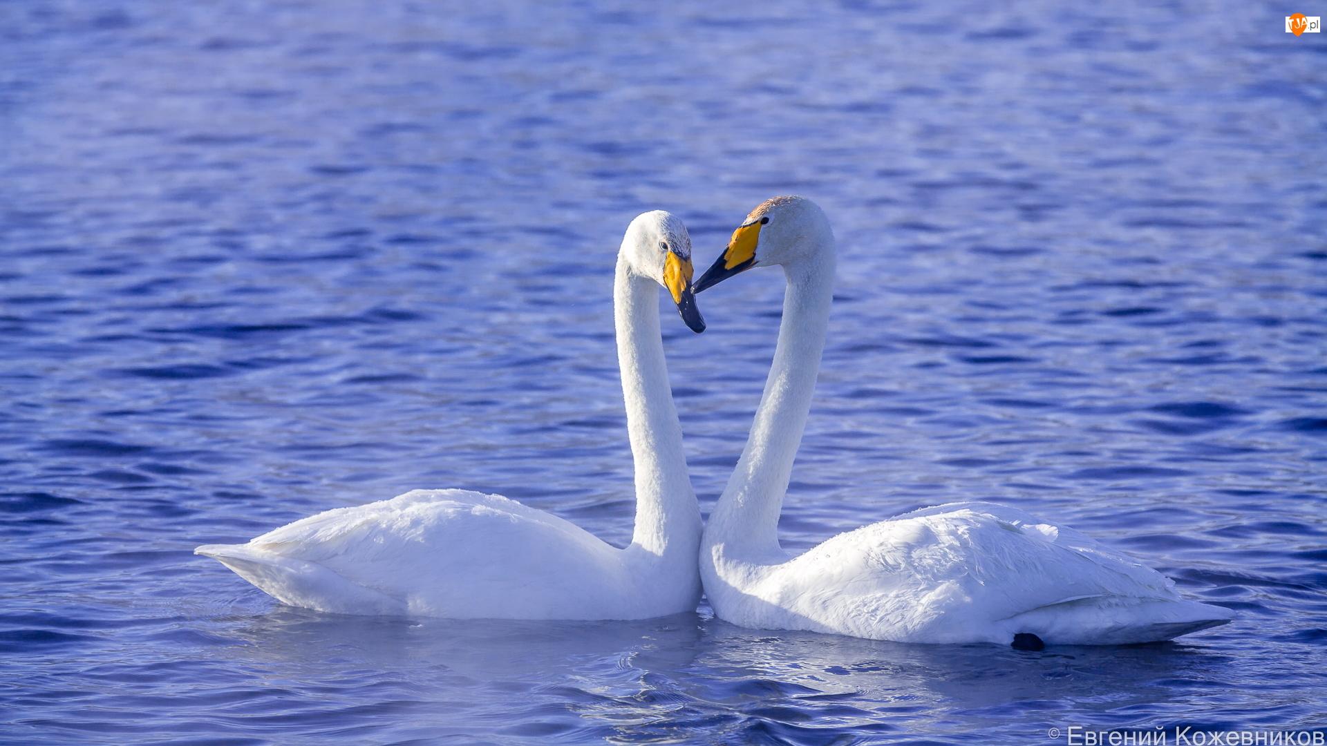 Woda, Dwa, Ptaki, Łabędzie