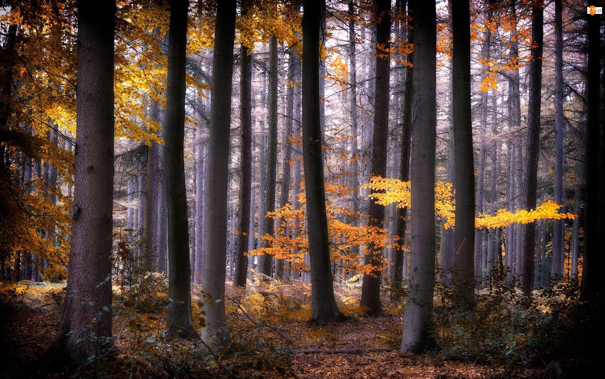 Jesień, Las, Drzewa, Kolorowe, Wysokie, Liście