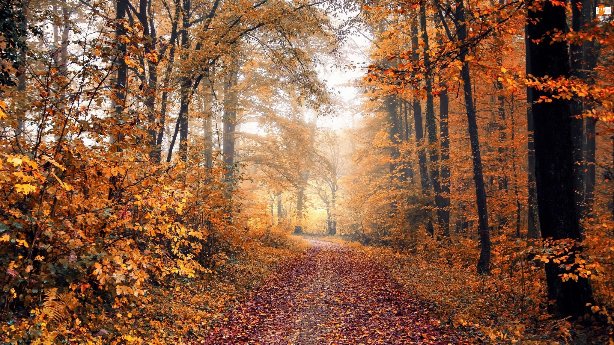Las, Drzewa, Mgła, Jesień, Liście, Opadłe, Droga