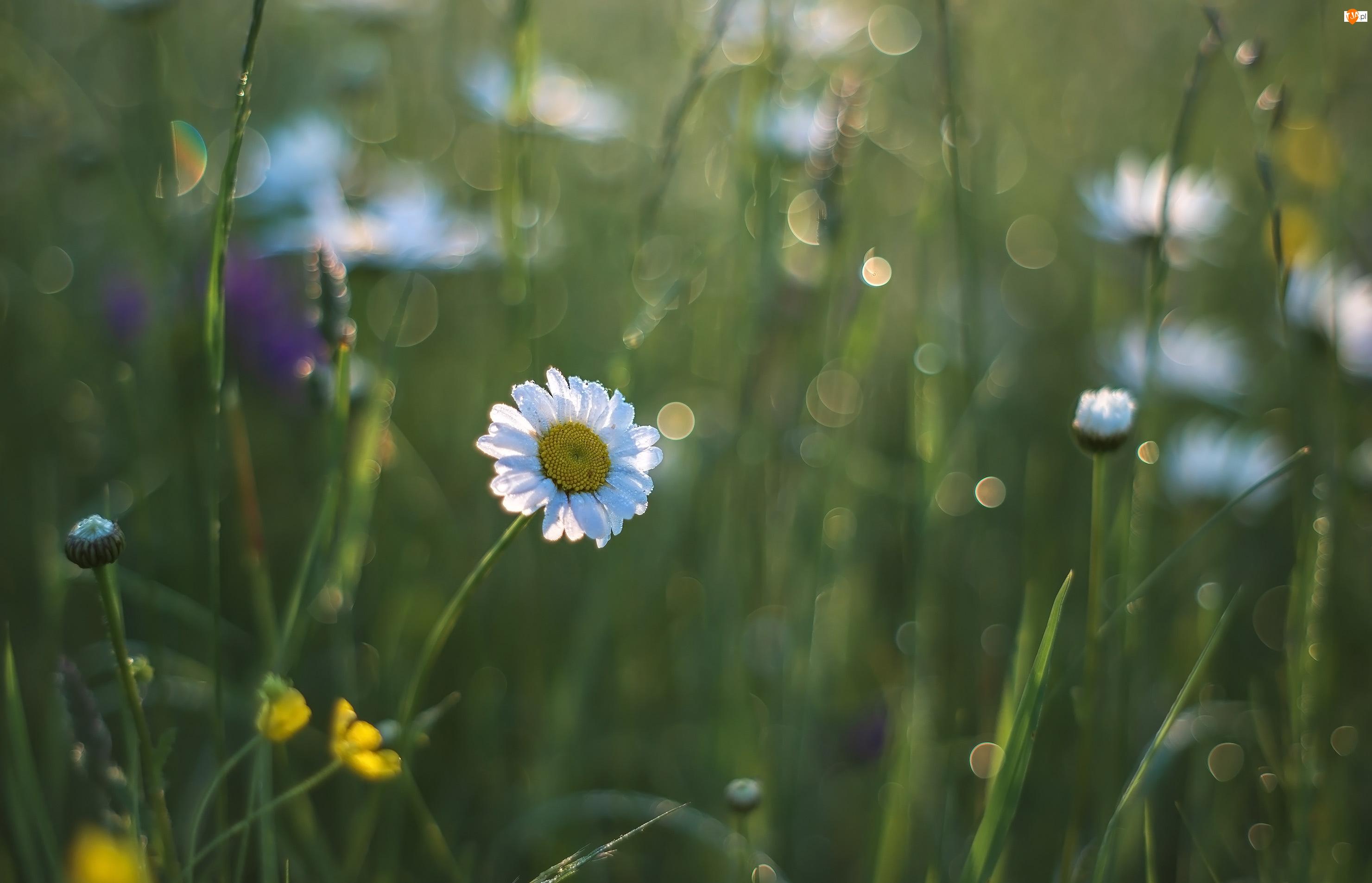 Pąki, Kwiaty, Margerytki, Złocienie