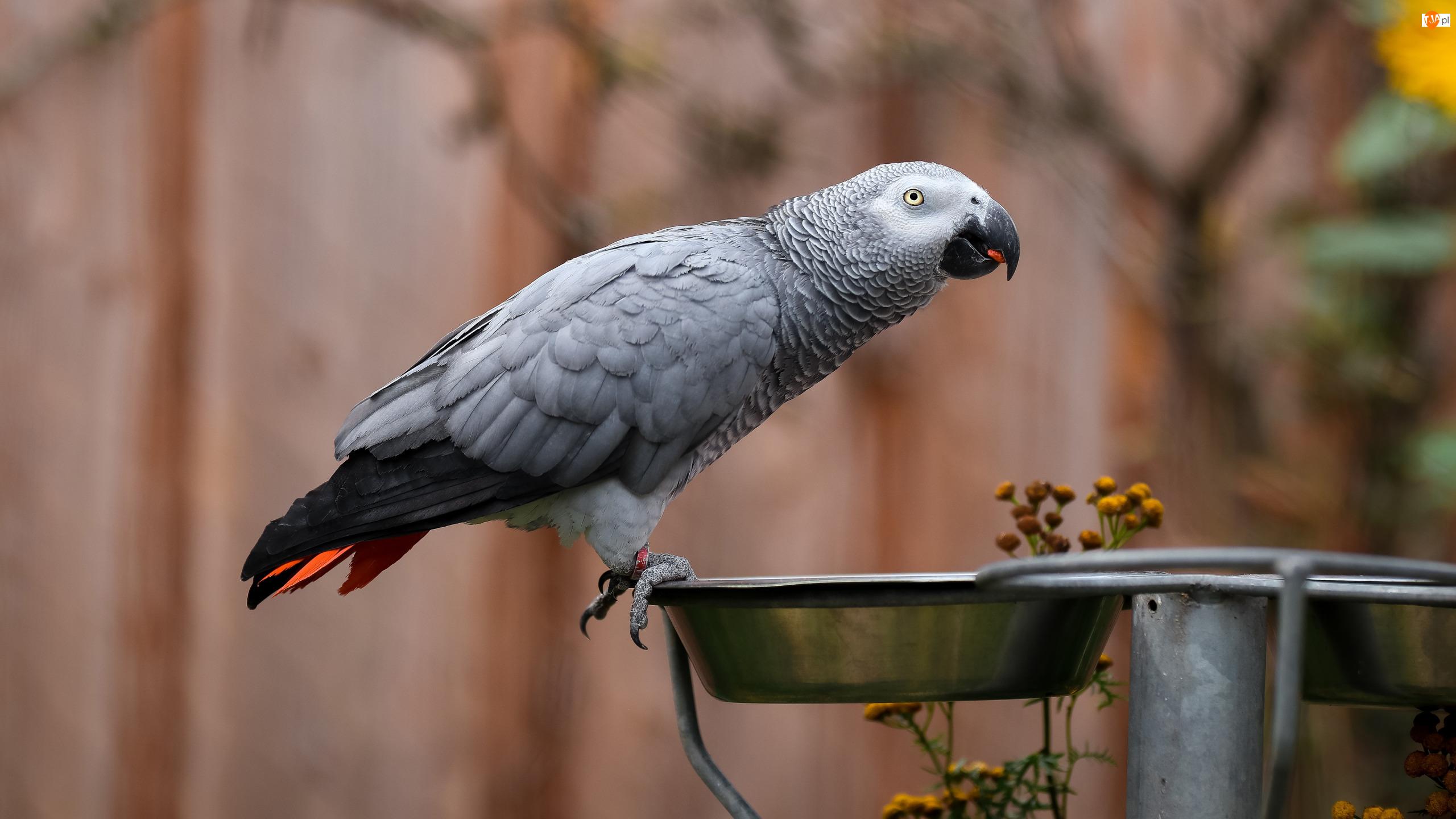 Miseczka, Papuga, Żako
