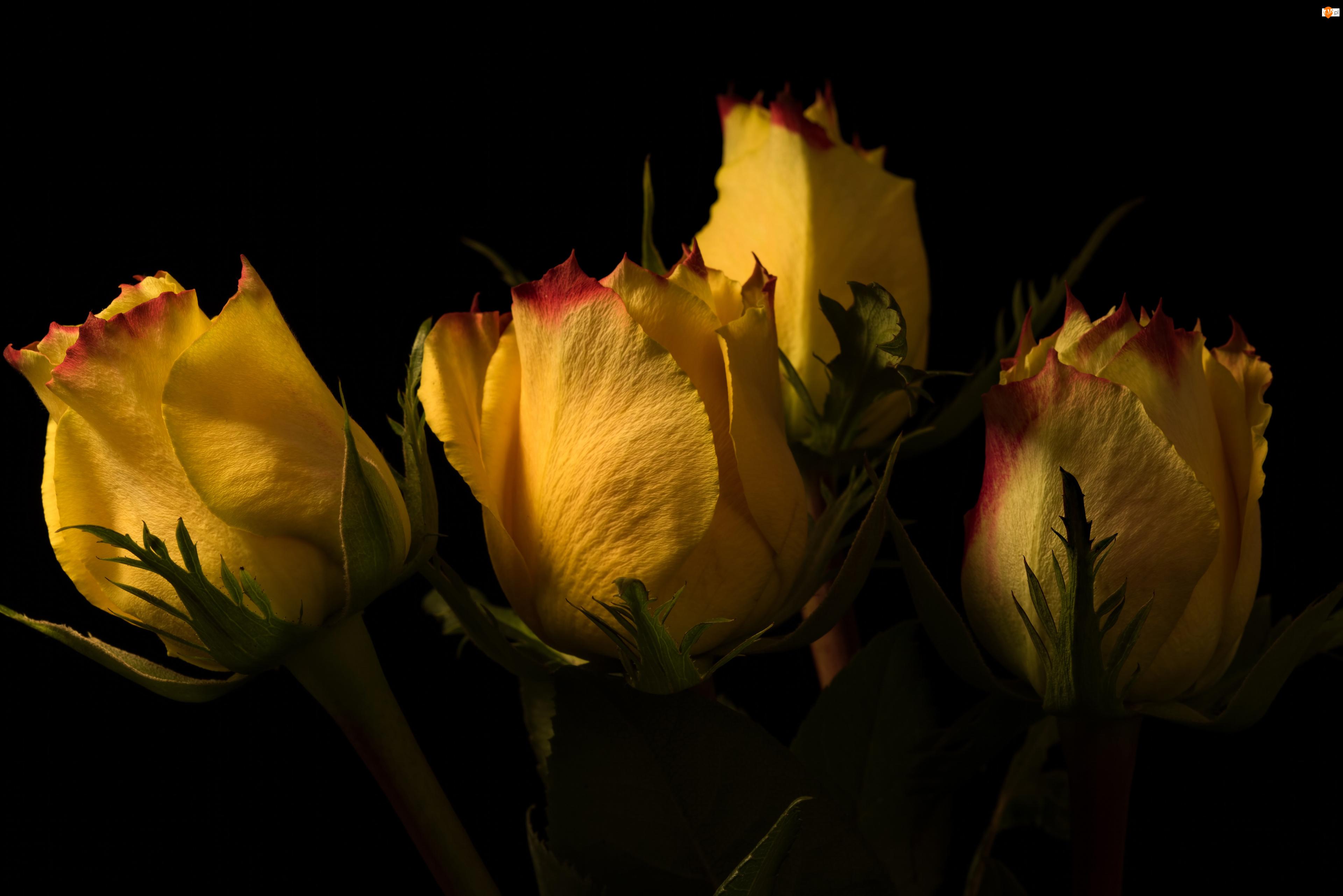 Róże, Cztery, Żółte