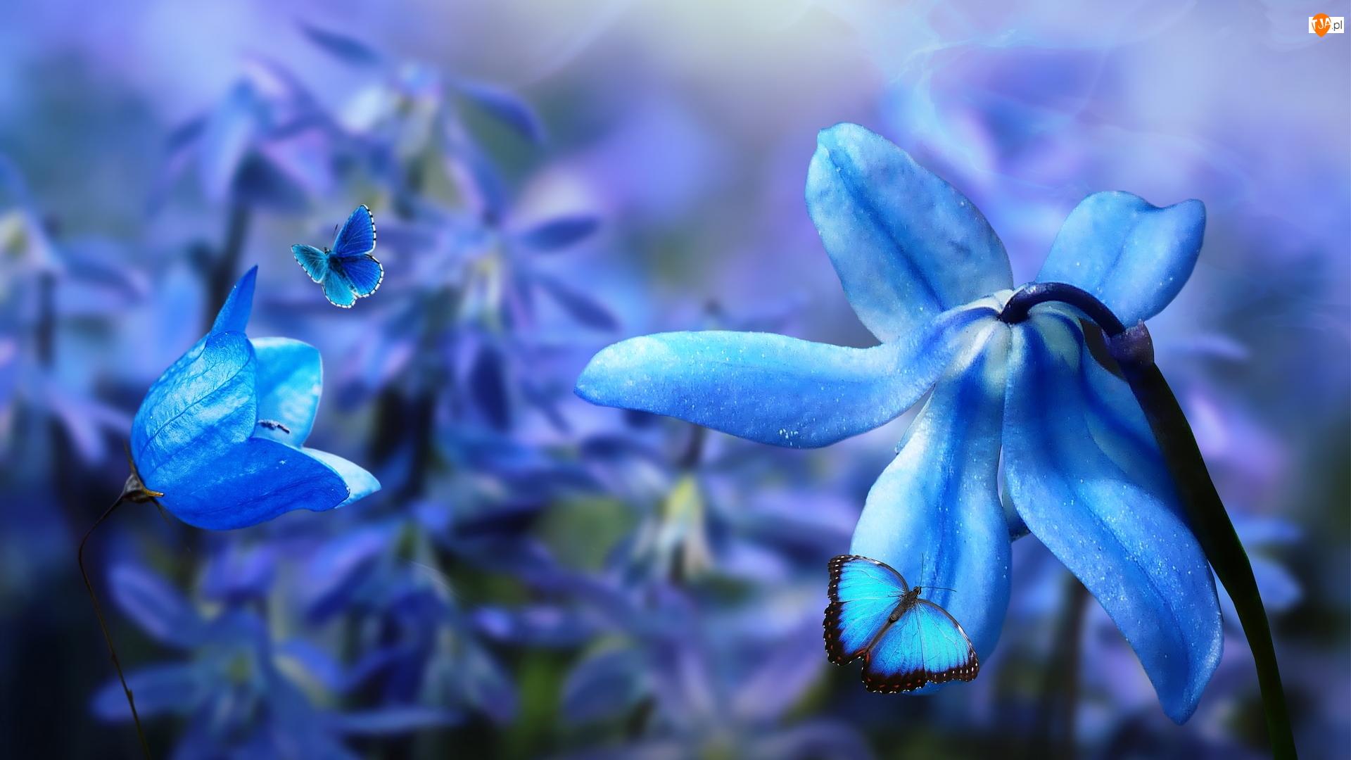 Niebieskie, Kwiaty, Cebulica, Motyle, Płatki, Dzwonek