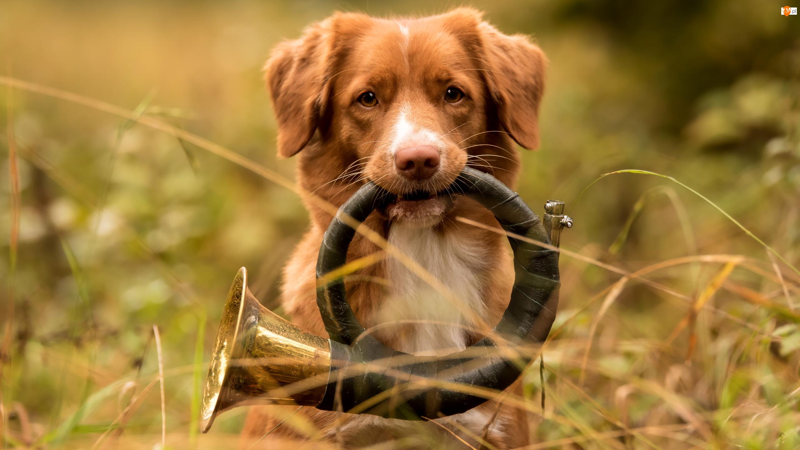 Retriever z Nowej Szkocji, Pies, Instrument, Trąbka myśliwska, Trawa, Trąbka sygnałowa