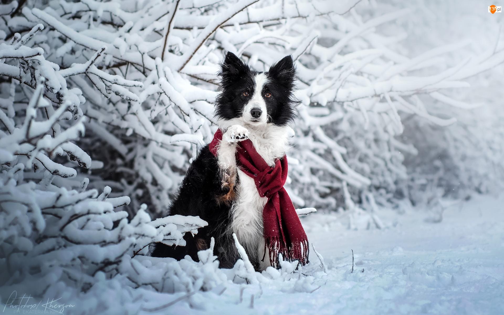 Pies, Border collie, Zima, Biało-czarny, Gałązki, Ośnieżone, Szalik