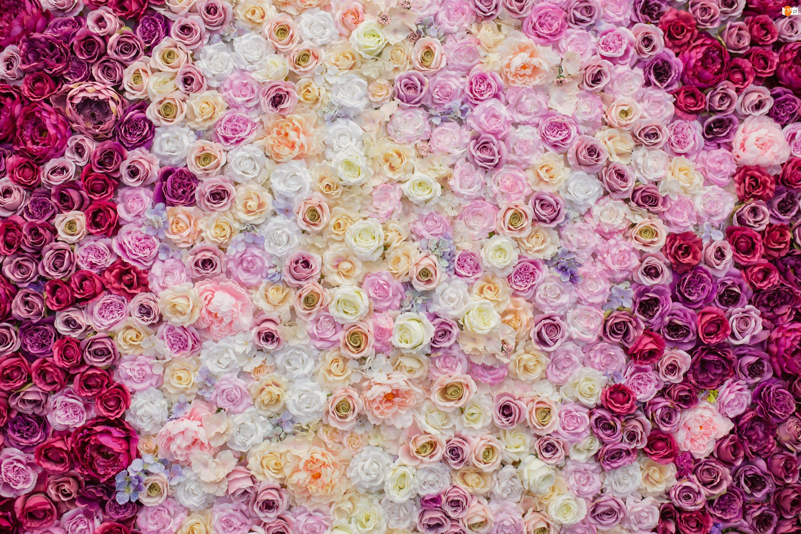 Różnokolorowe, Kwiaty, Róże