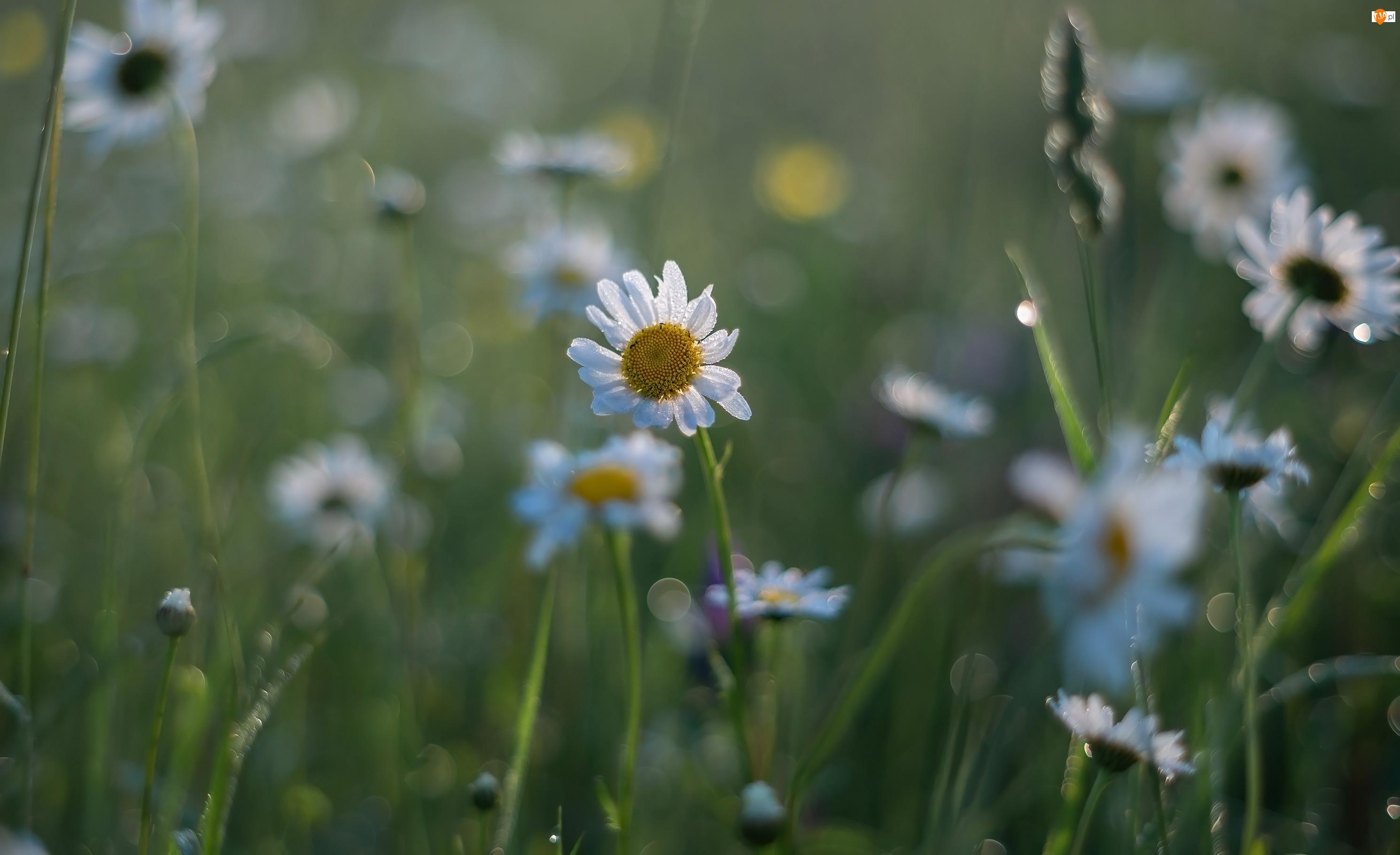 Rozmycie, Kwiaty, Margerytki, Trawa