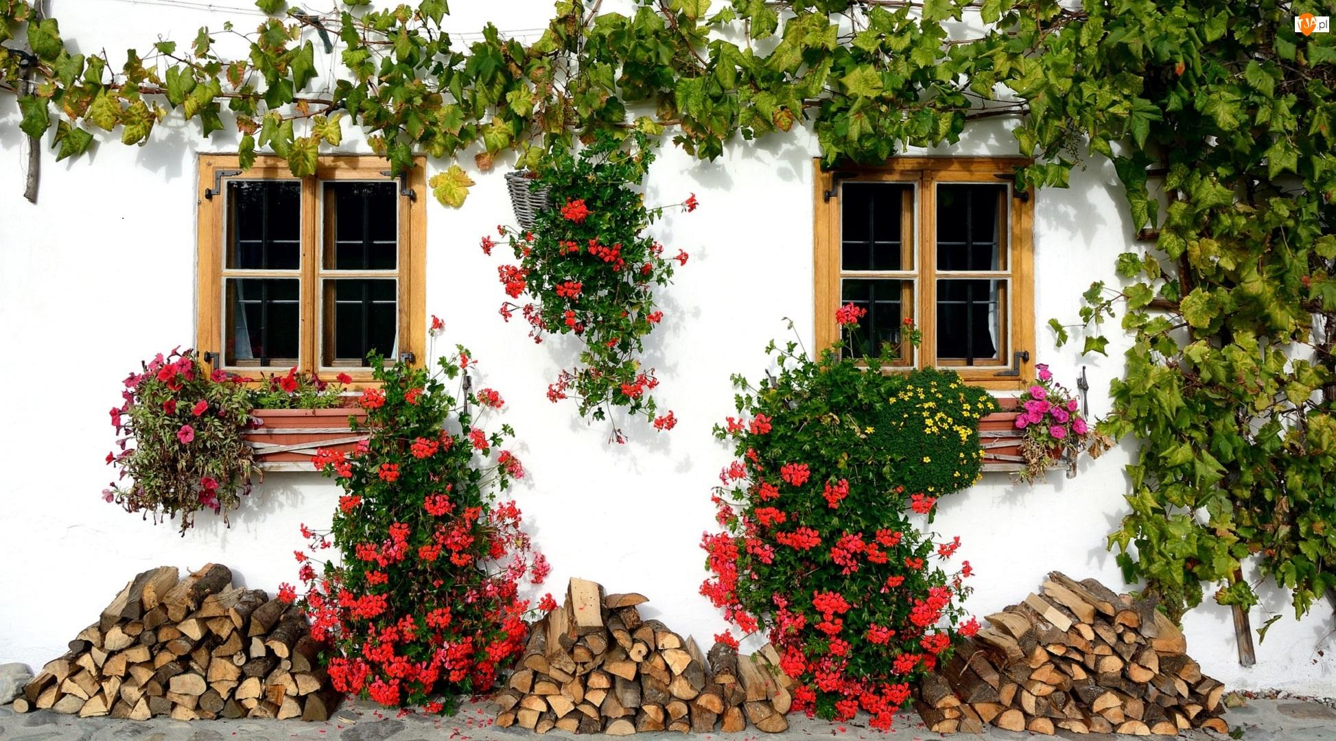 Dom, Okna, Drewno, Biały, Bluszcz, Pelargonie, Kwiaty