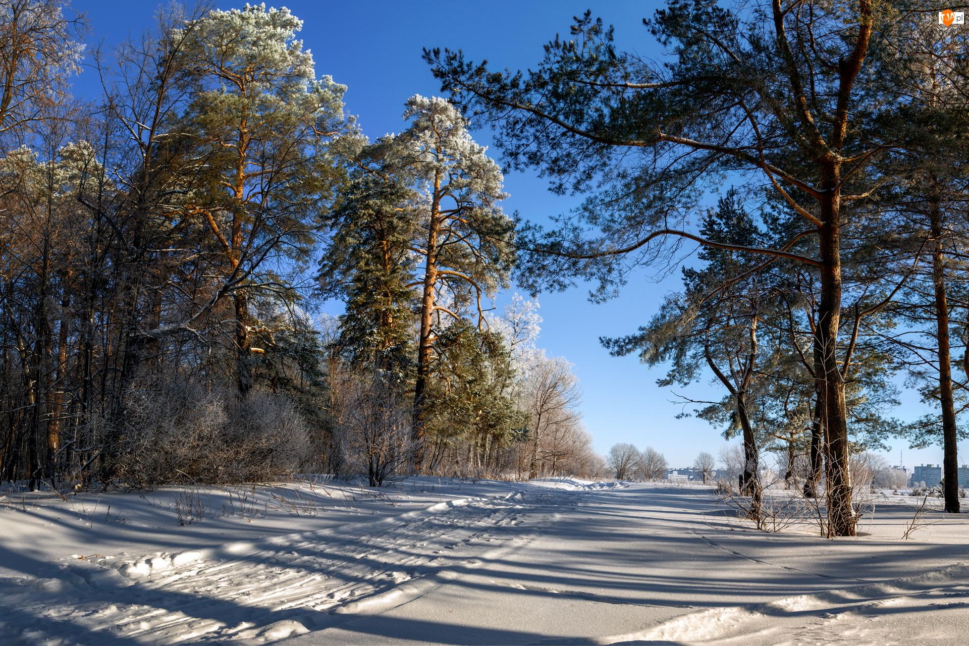 Ośnieżone, Drzewa, Droga, Zima, Sosny