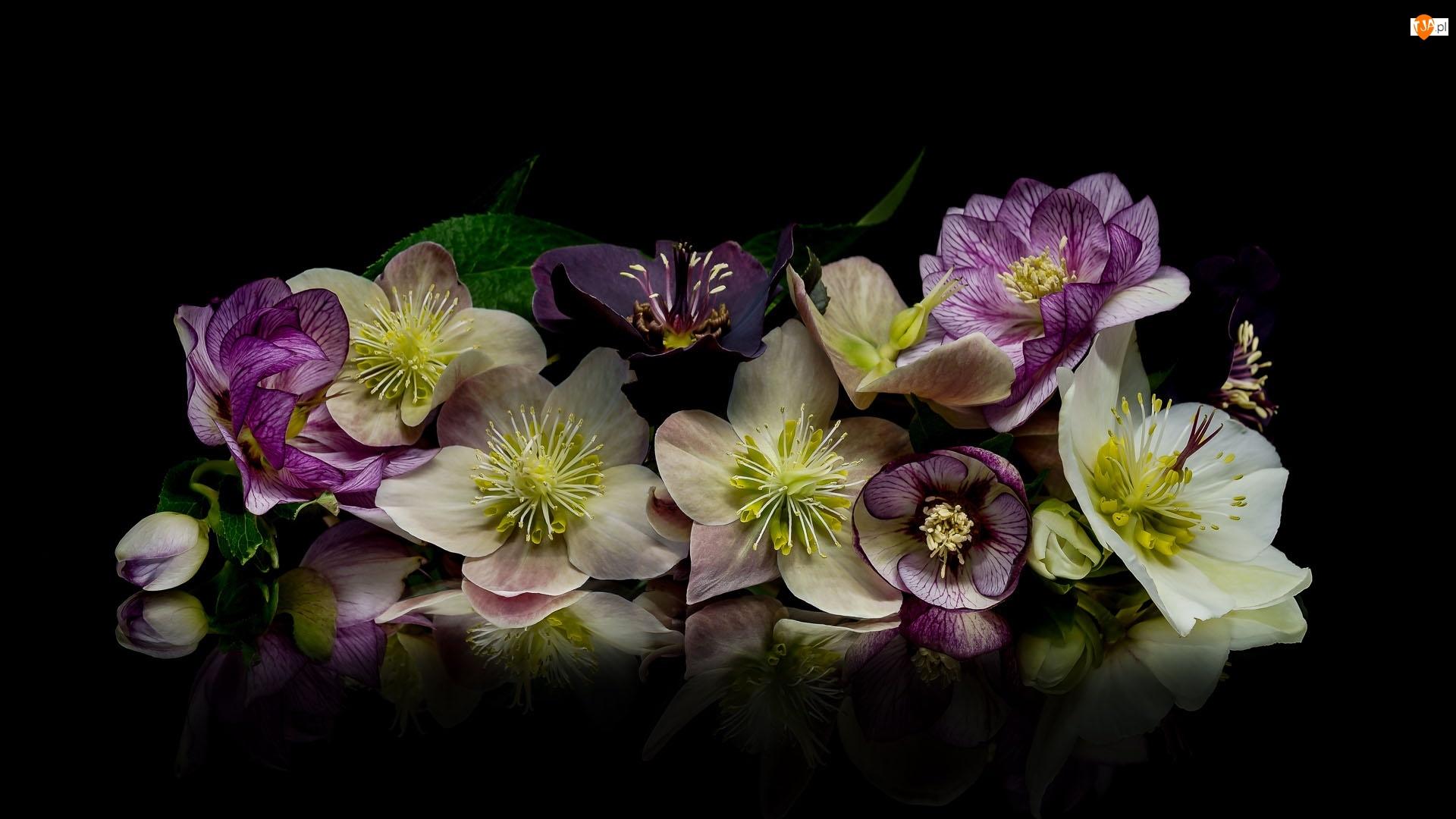 Kwiaty, Kompozycja, Ciemiernik, Tło, Zawilec, Czarne