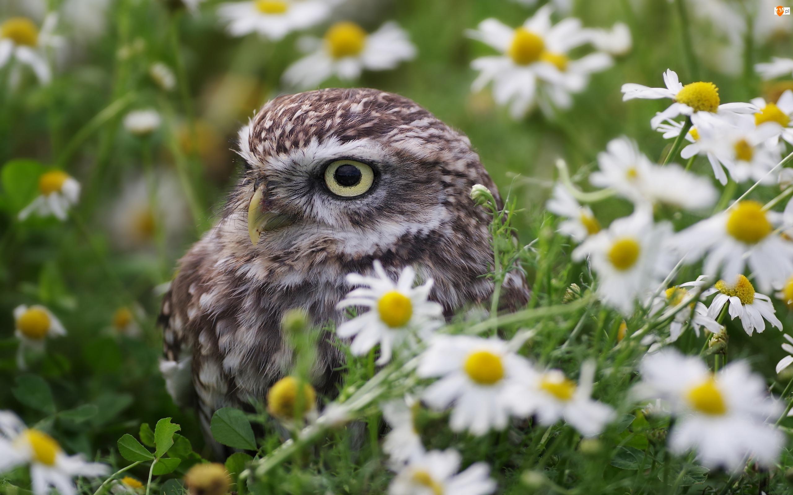 Pójdźka zwyczajna, Rumianek, Sowa, Ptak, Kwiaty