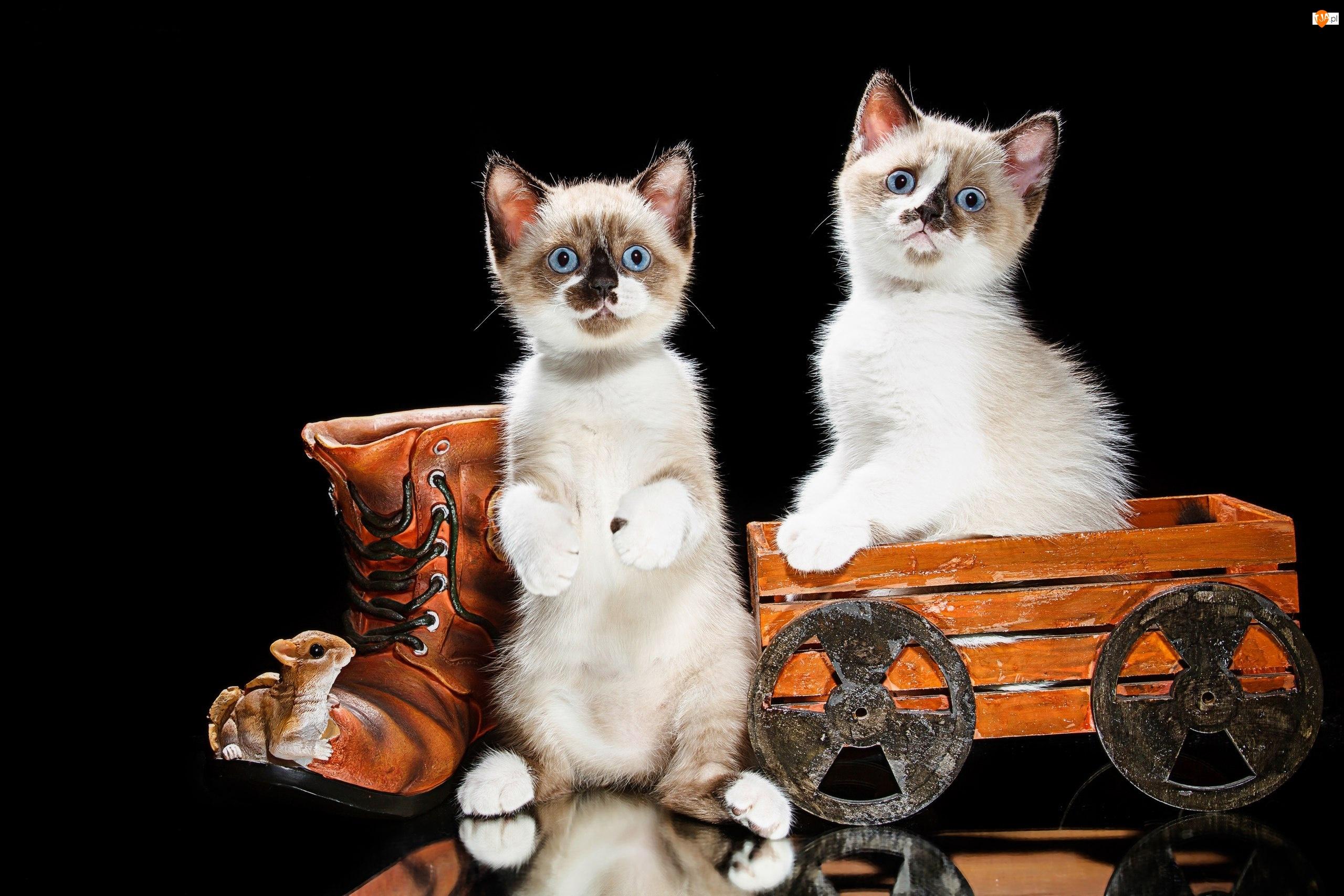 Koty, But, Kotki, Małe, Wózek