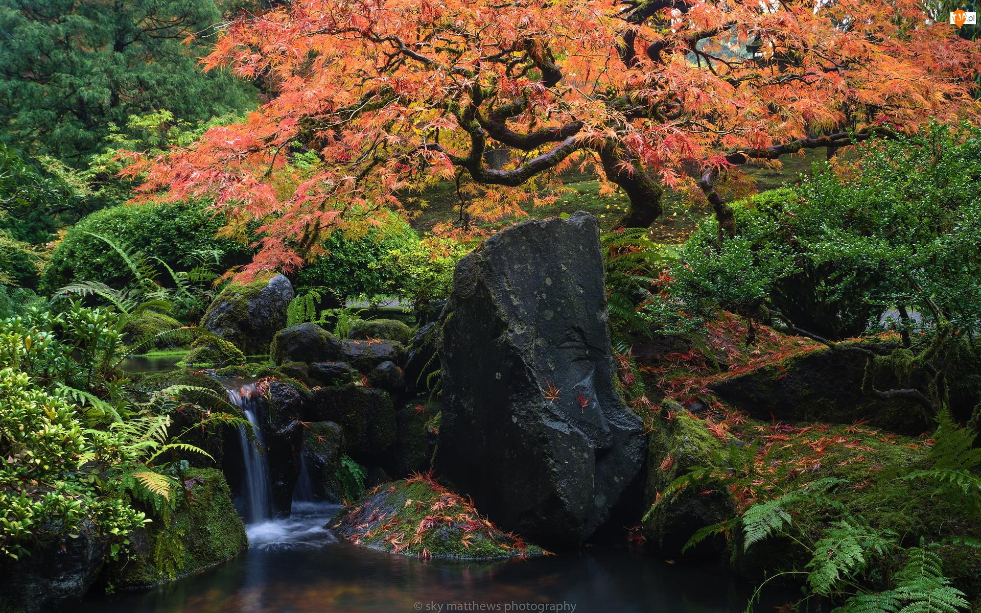 Park Waszyngtona, Ogród japoński, Paprocie, Drzewa, Stan Oregon, Kaskada, Jesień, Stany Zjednoczone, Klon palmowy, Portland, Kamienie