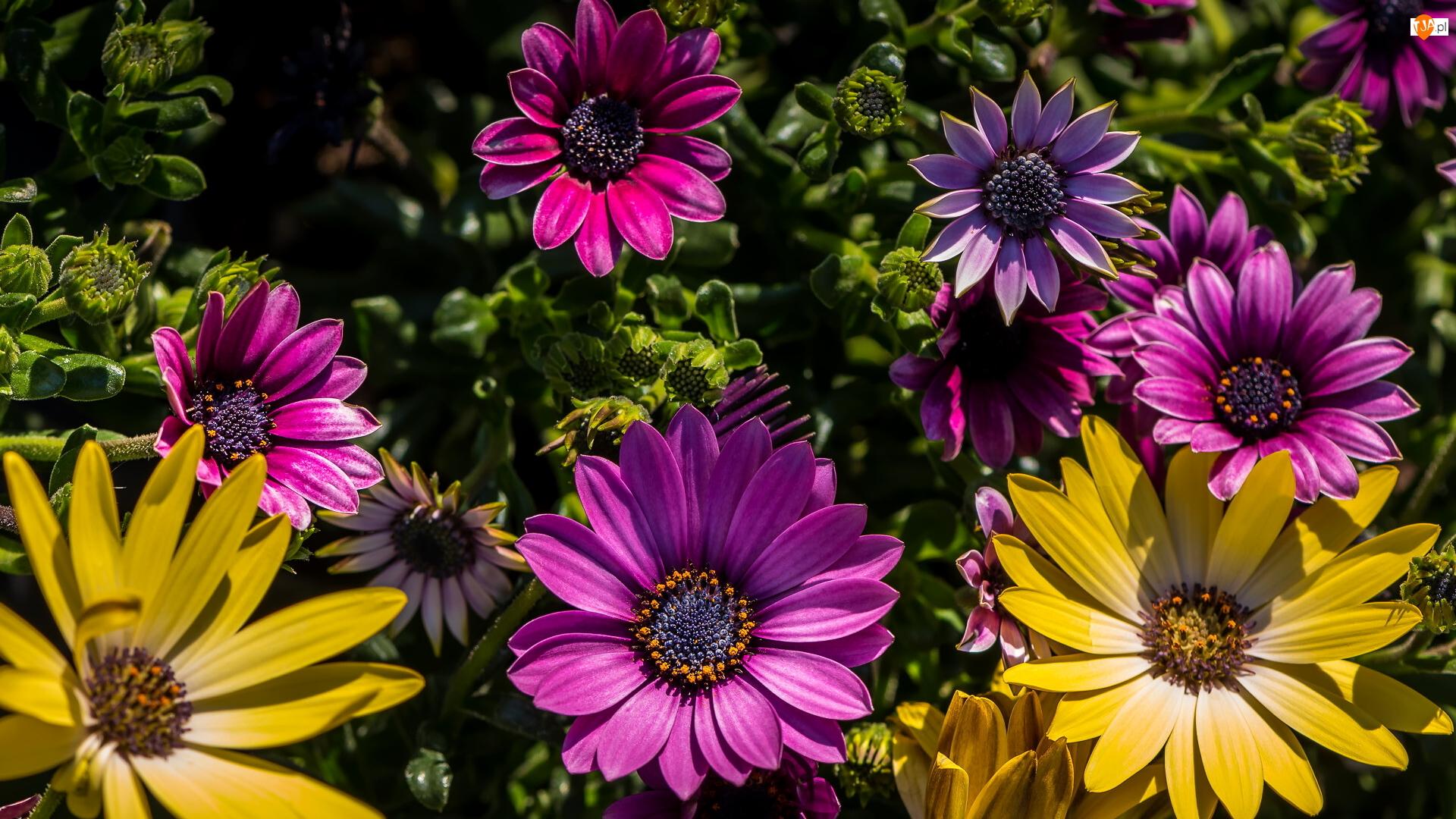Stokrotki afrykańskie, Kwiaty, Kolorowe