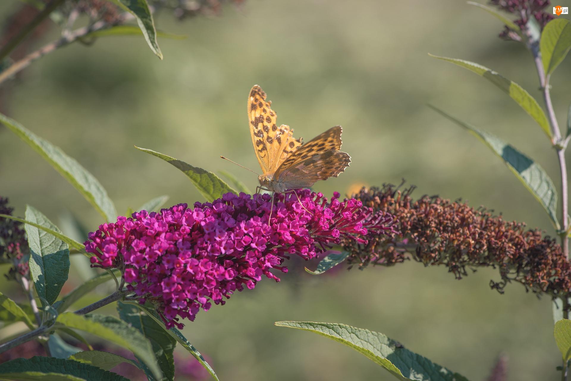 Motyl, Kwiat, Różowa, Budleja