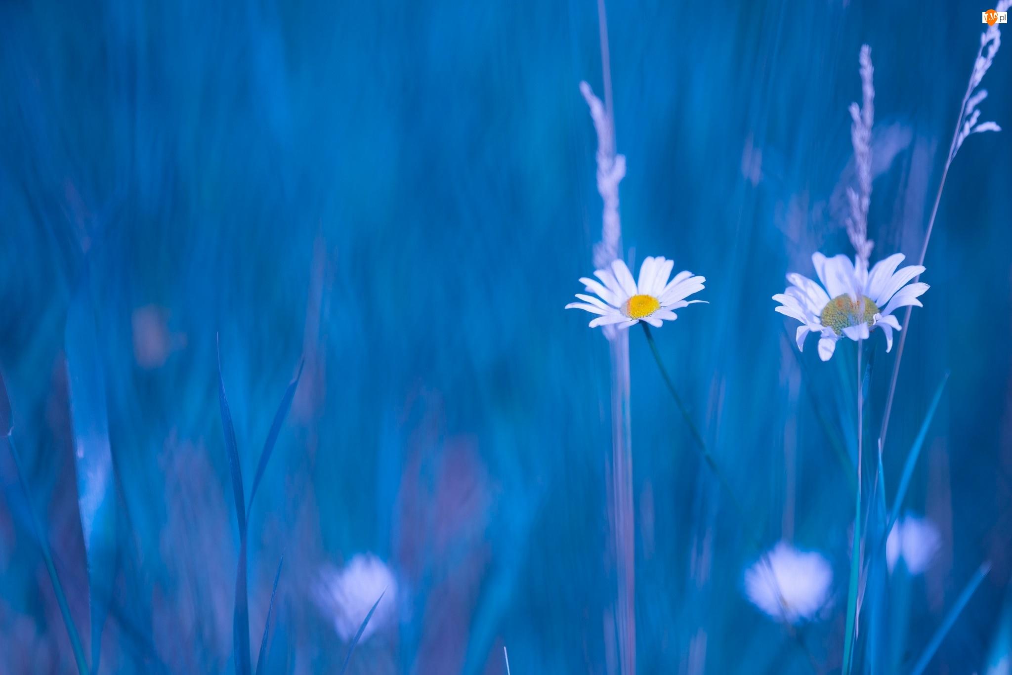 Trawy, Kwiaty, Rumianki, Źdźbła
