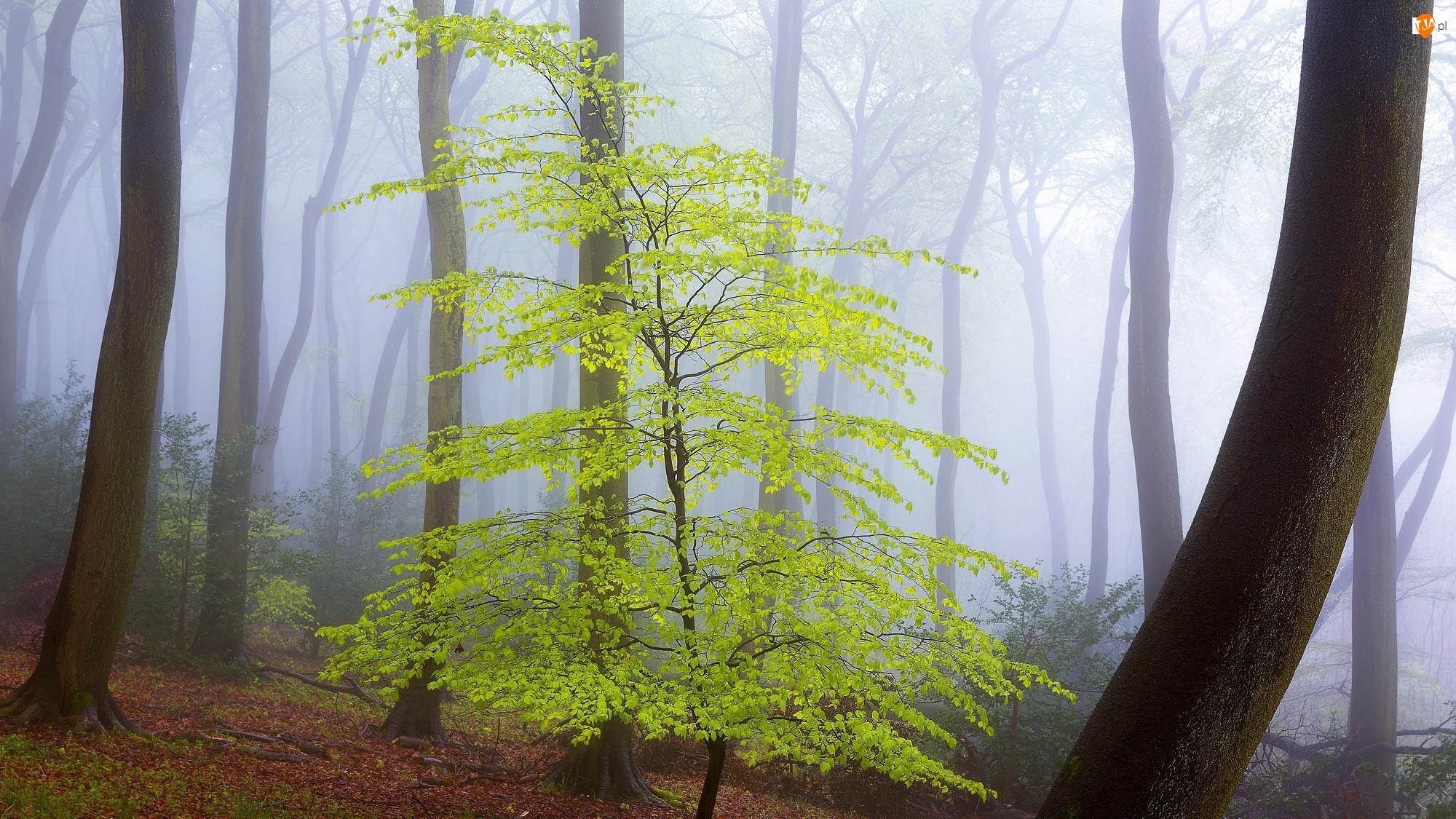Pnie, Las, Mgła, Drzewa