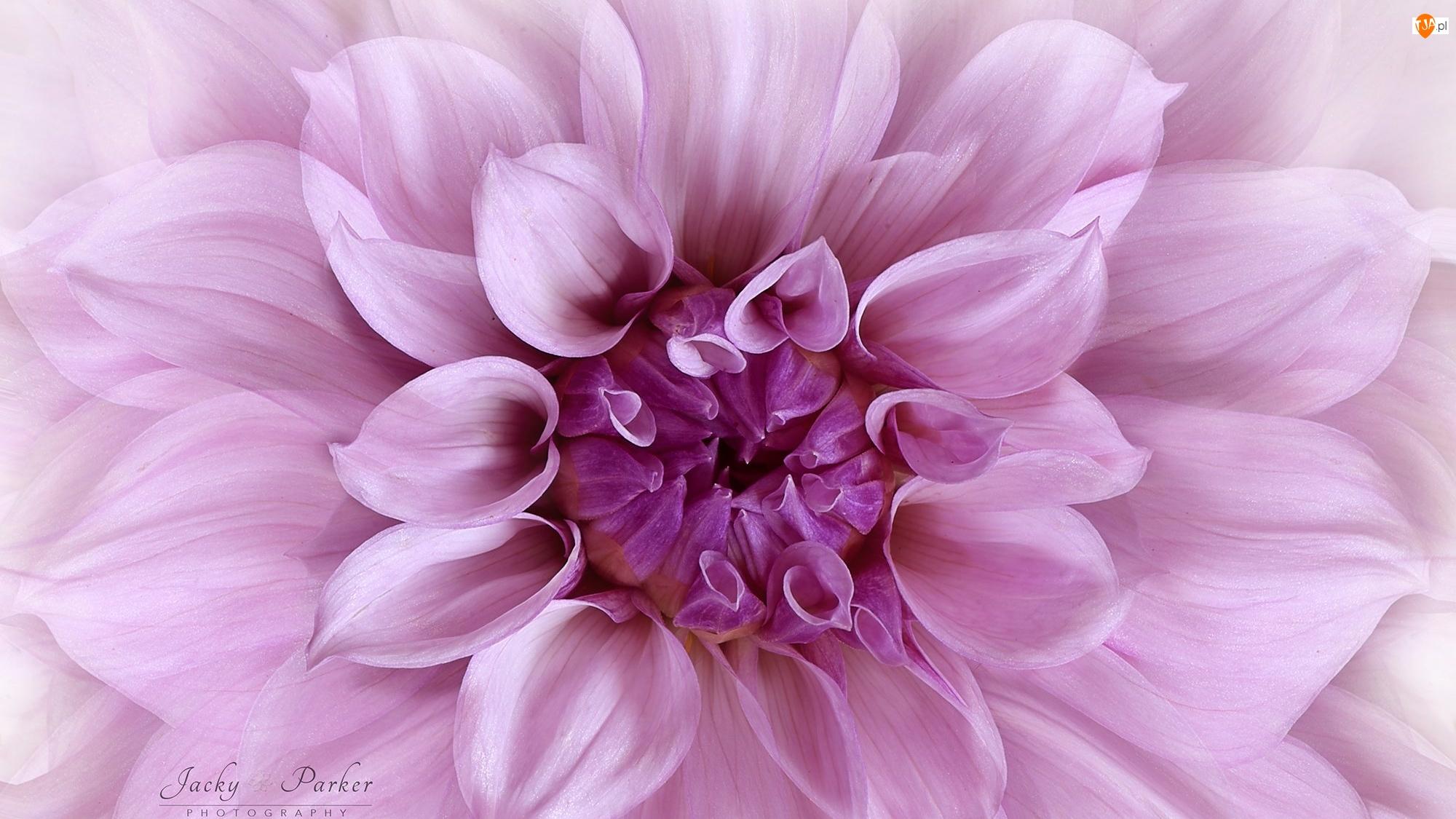 Makro, Kwiat, Różowa, Dalia