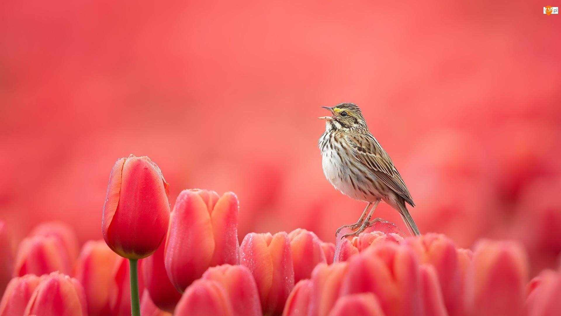 Ptak, Tulipany