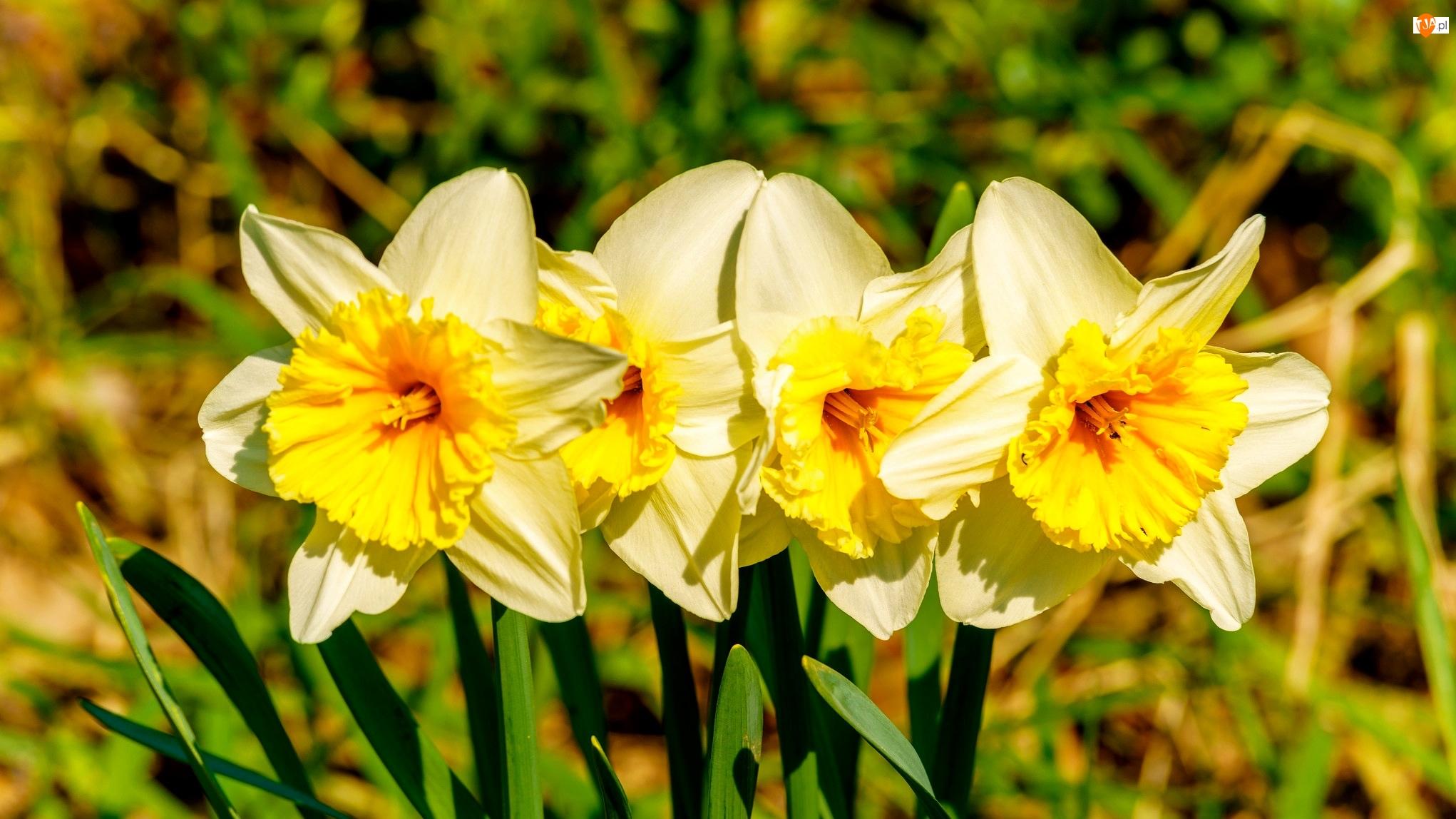 Narcyzy, Kwiaty, Cztery