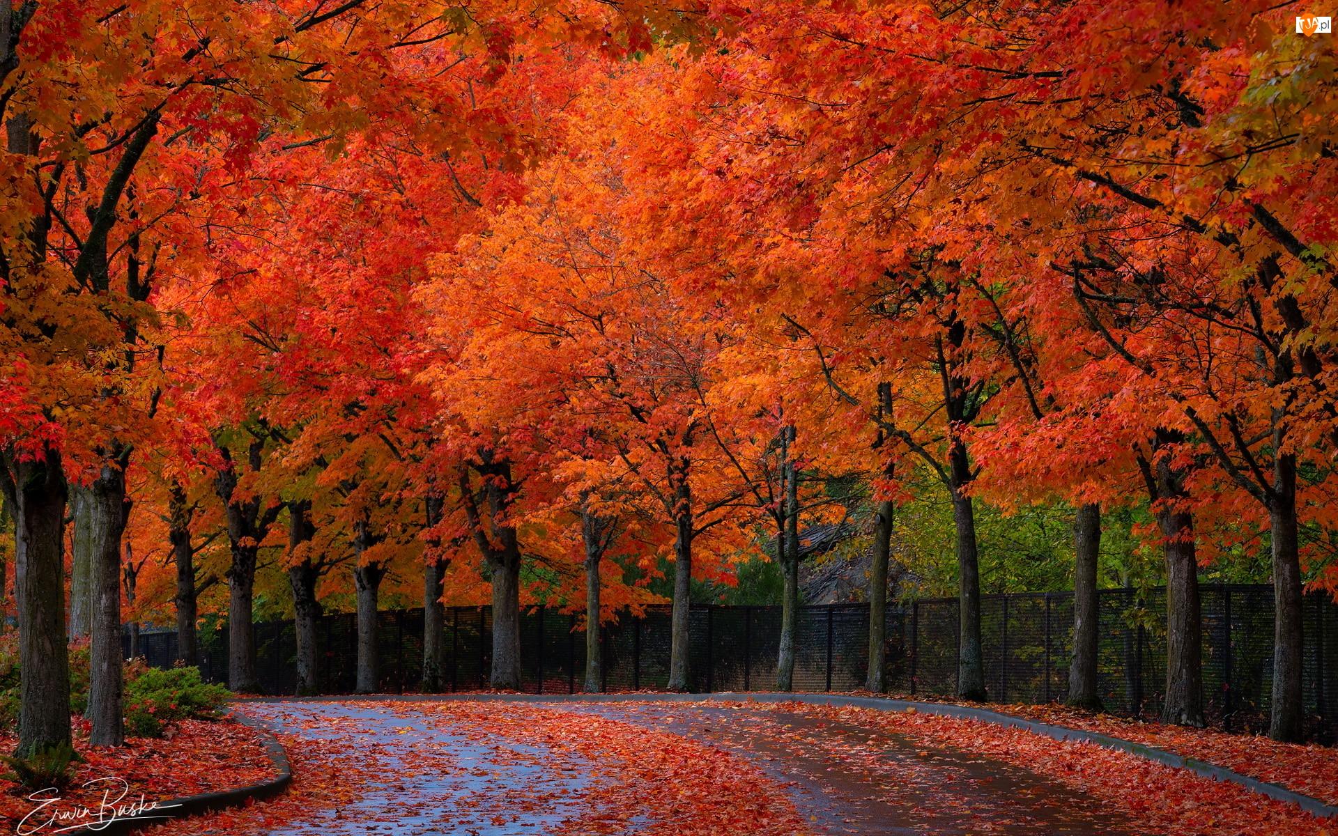 Ogrodzenie, Jesienne, Płot, Liście, Droga, Drzewa, Czerwone, Jesień, Rude