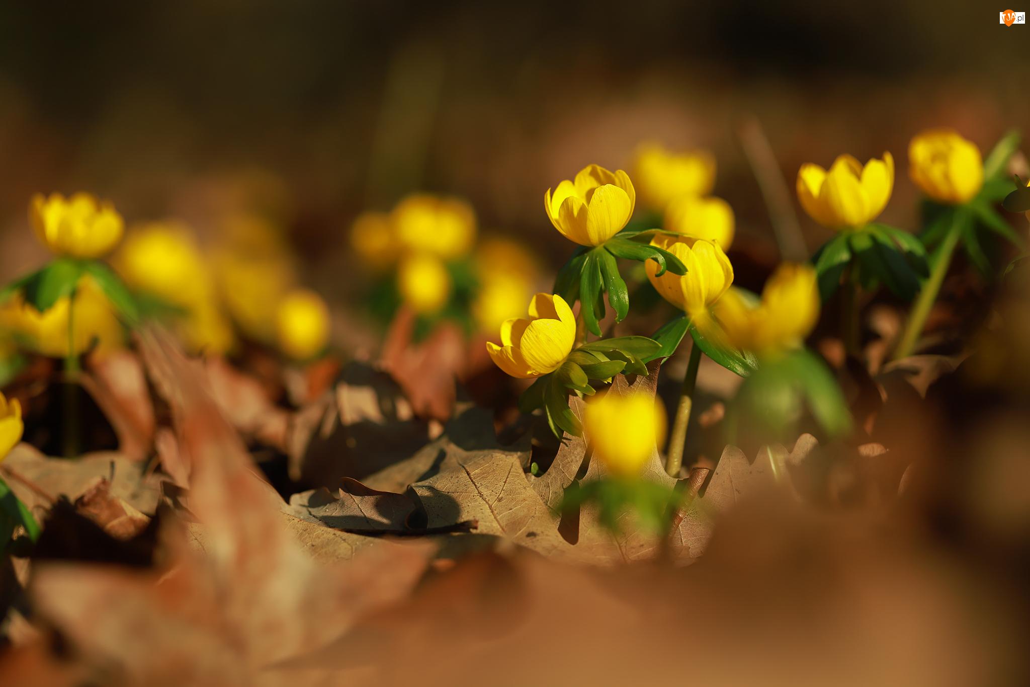 Zbliżenie, Żółte, Kwiaty, Ranniki