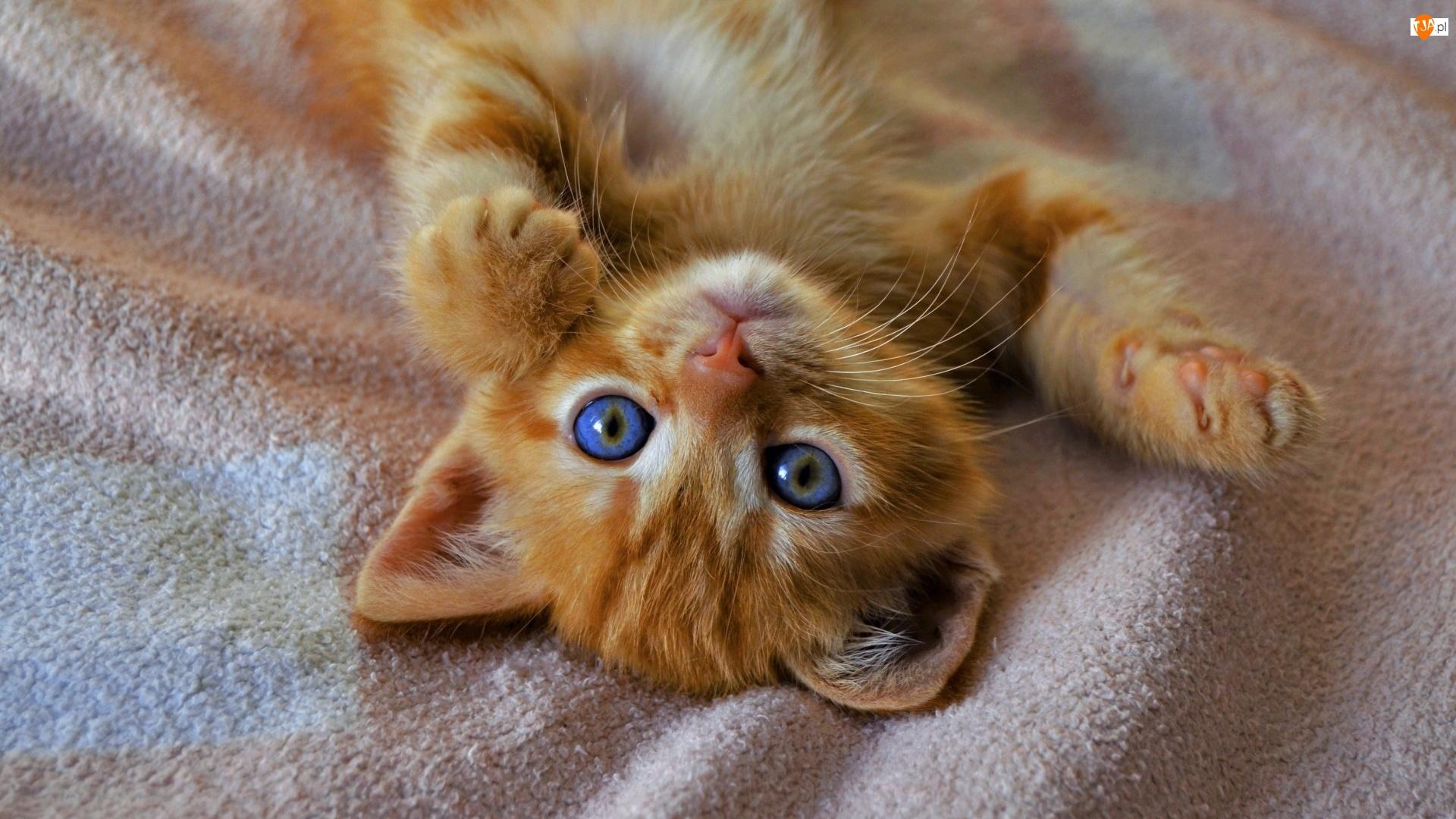 Koc, Mały, Rudy, Kot