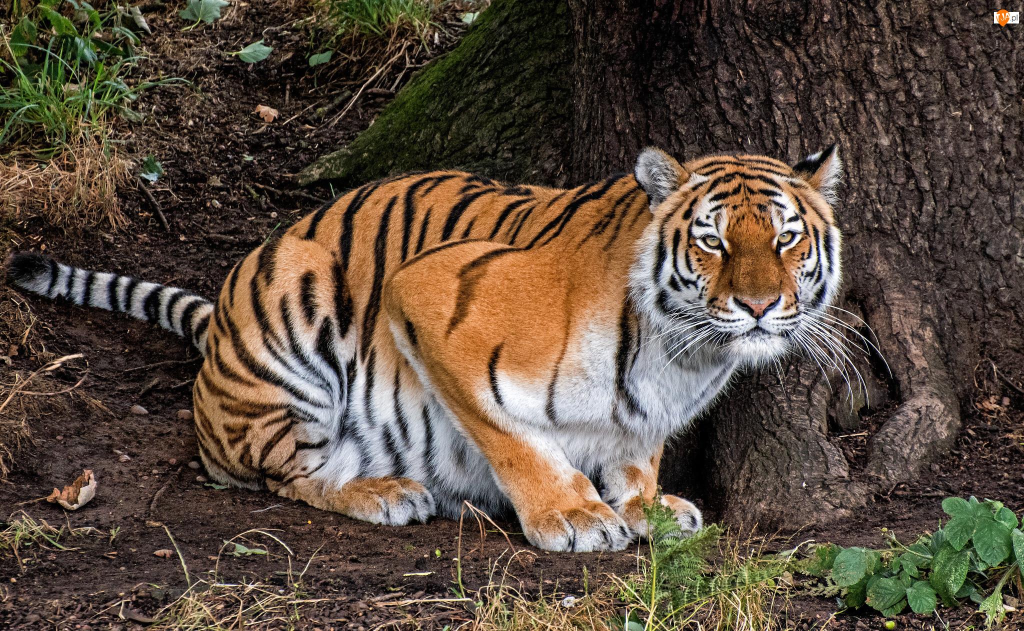 Drzewo, Skulony, Tygrys