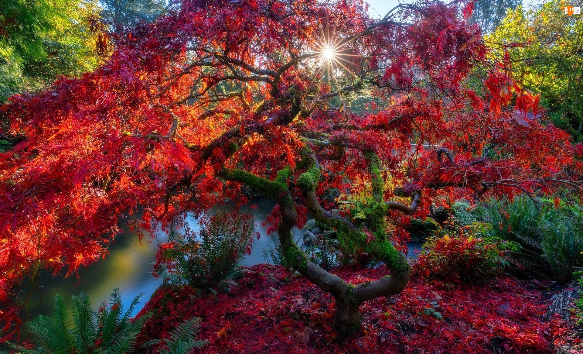 Jesień, Drzewo, Promienie słońca, Park, Staw, Klon japoński, Liście