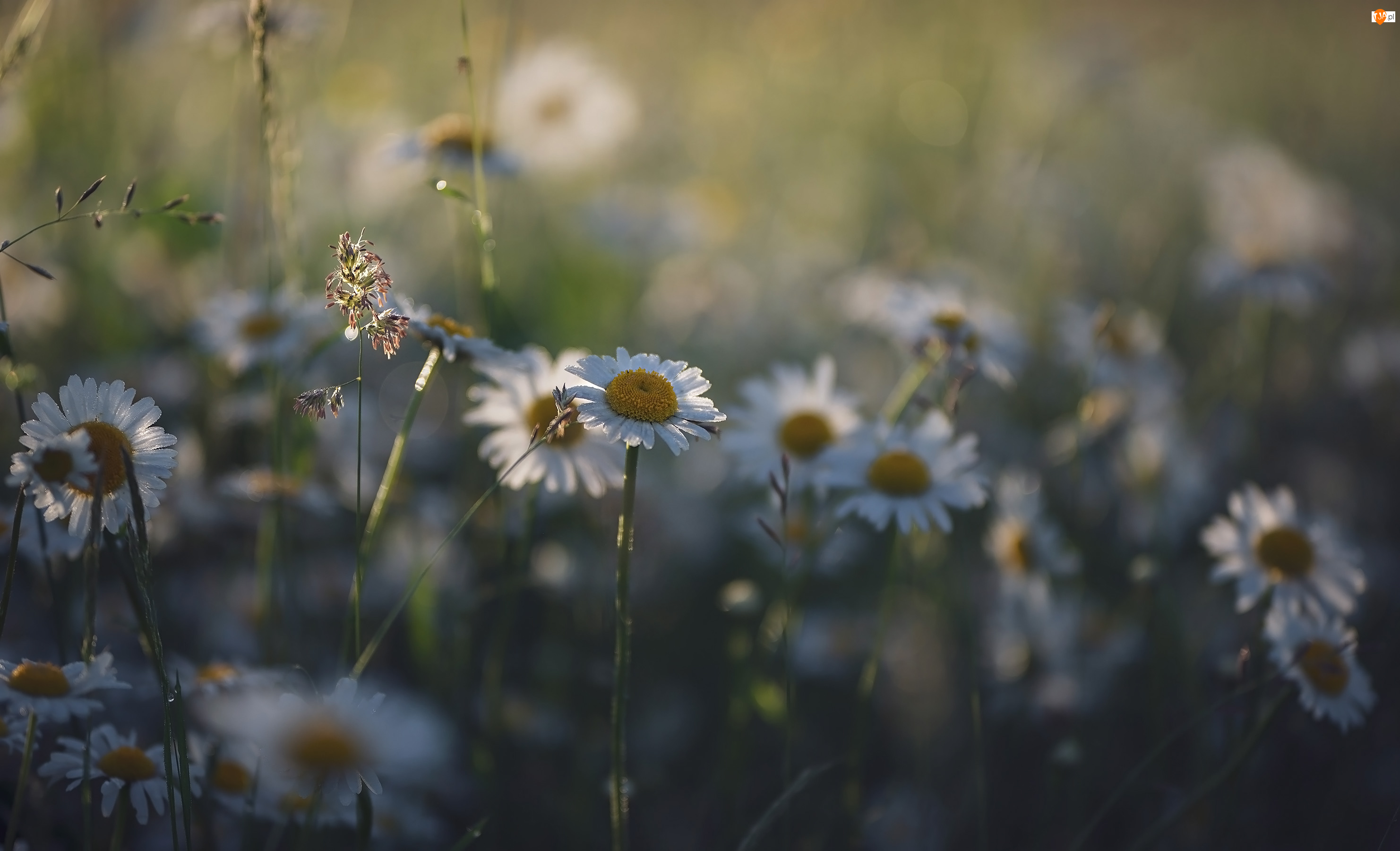 Rozmycie, Kwiaty, Złocienie maruna, Trawa