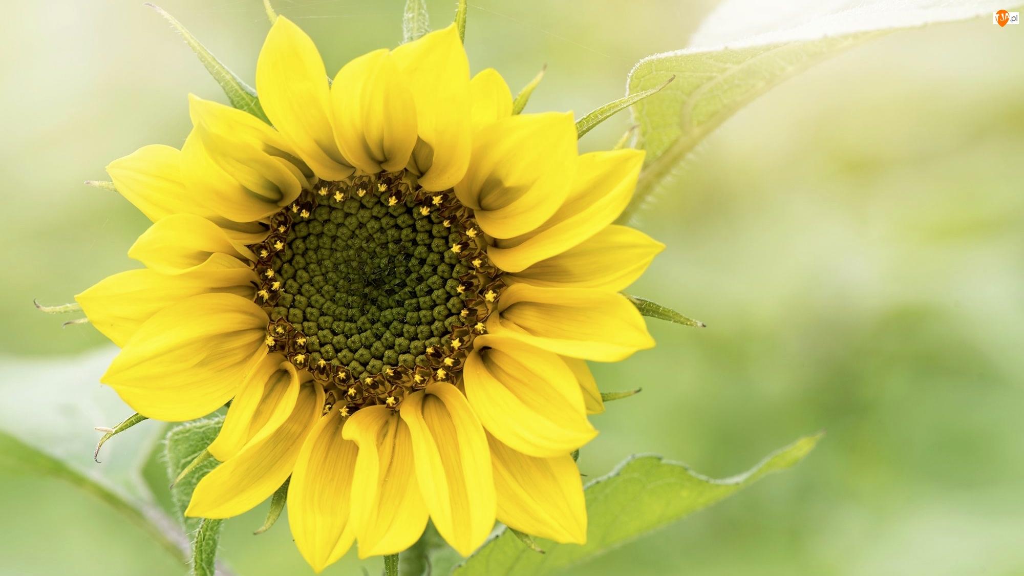 Zielone tło, Kwiat, Słonecznik, Zbliżenie