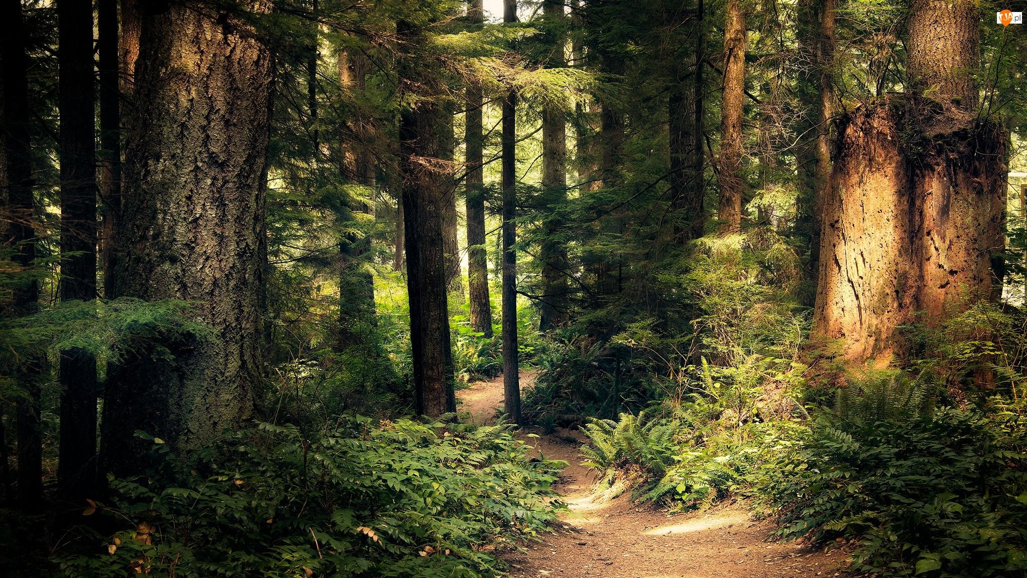 Drzewa, Paprocie, Przebijające światło, Las, Ścieżka