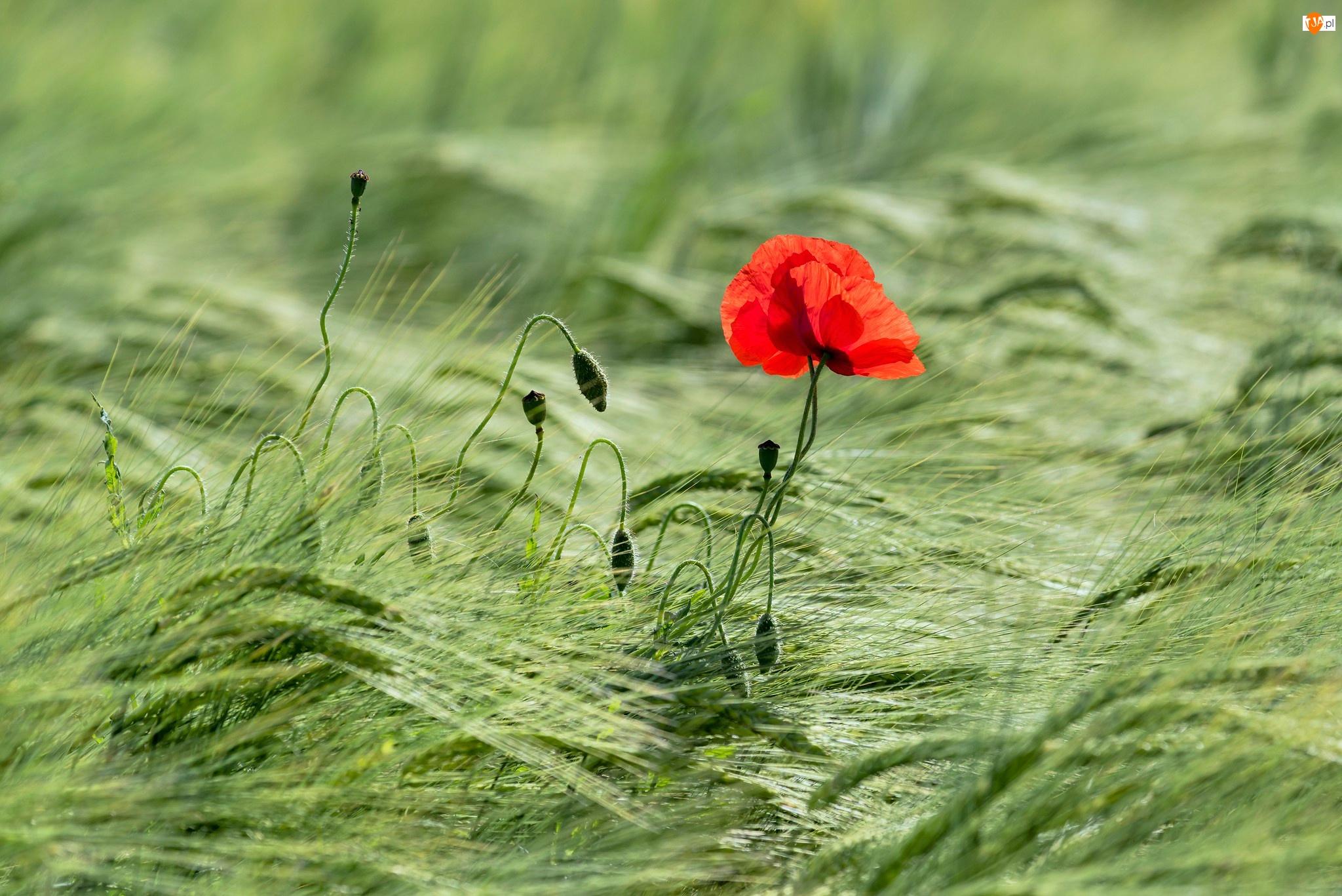 Kwiat, Pąki, Zboża, Kłosy, Mak