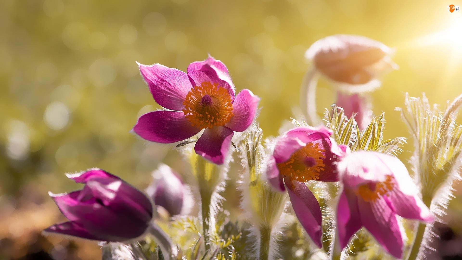 Sasanki, Kwitnące, Różowe