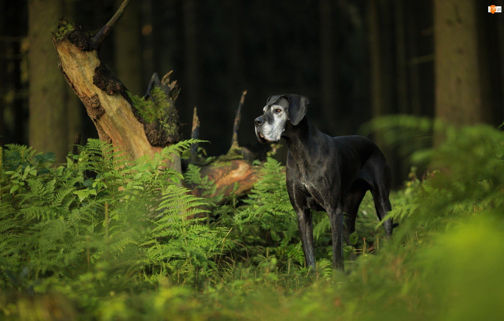 Paprocie, Pies, Dog niemiecki