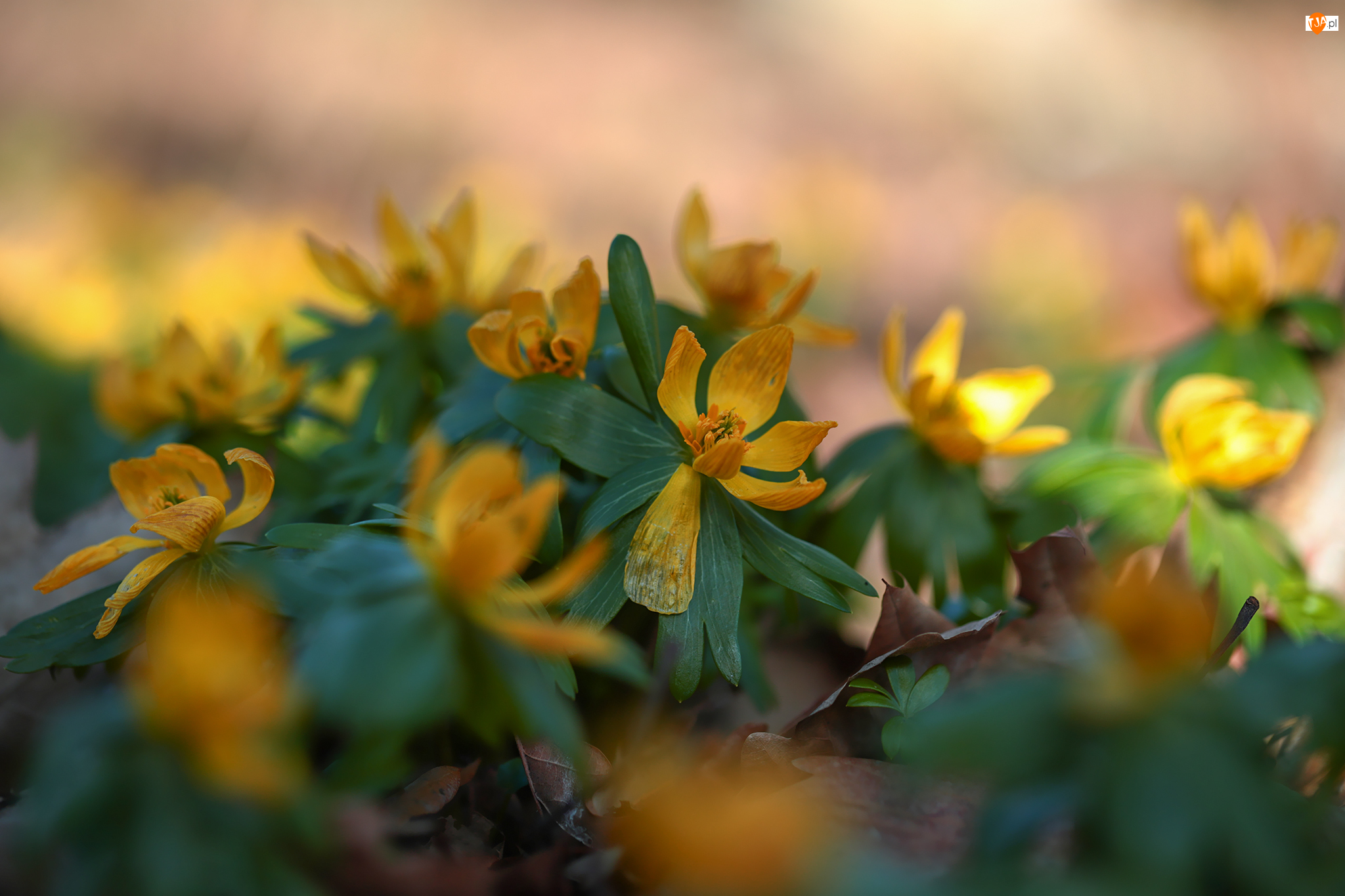 Zbliżenie, Żółte, Ranniki, Kwiaty