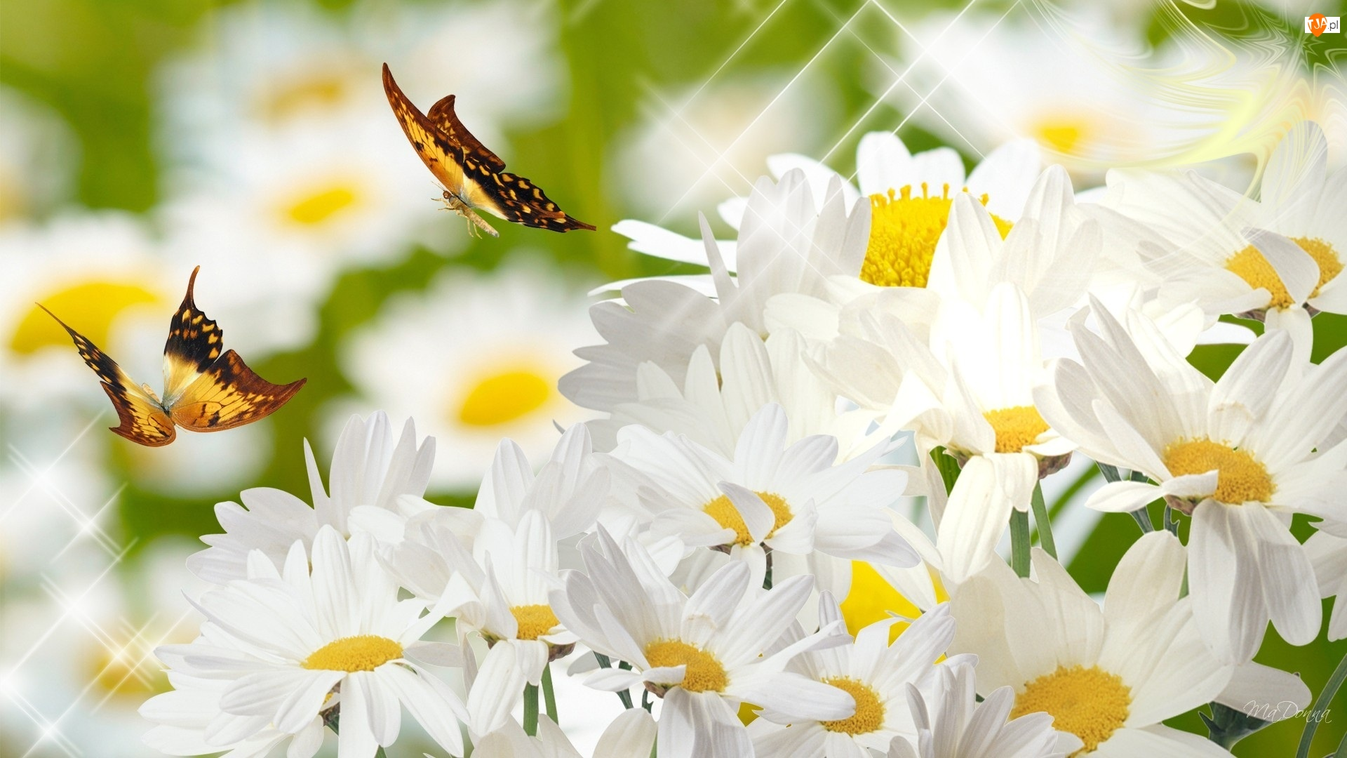 2D, Margerytki, Motyle