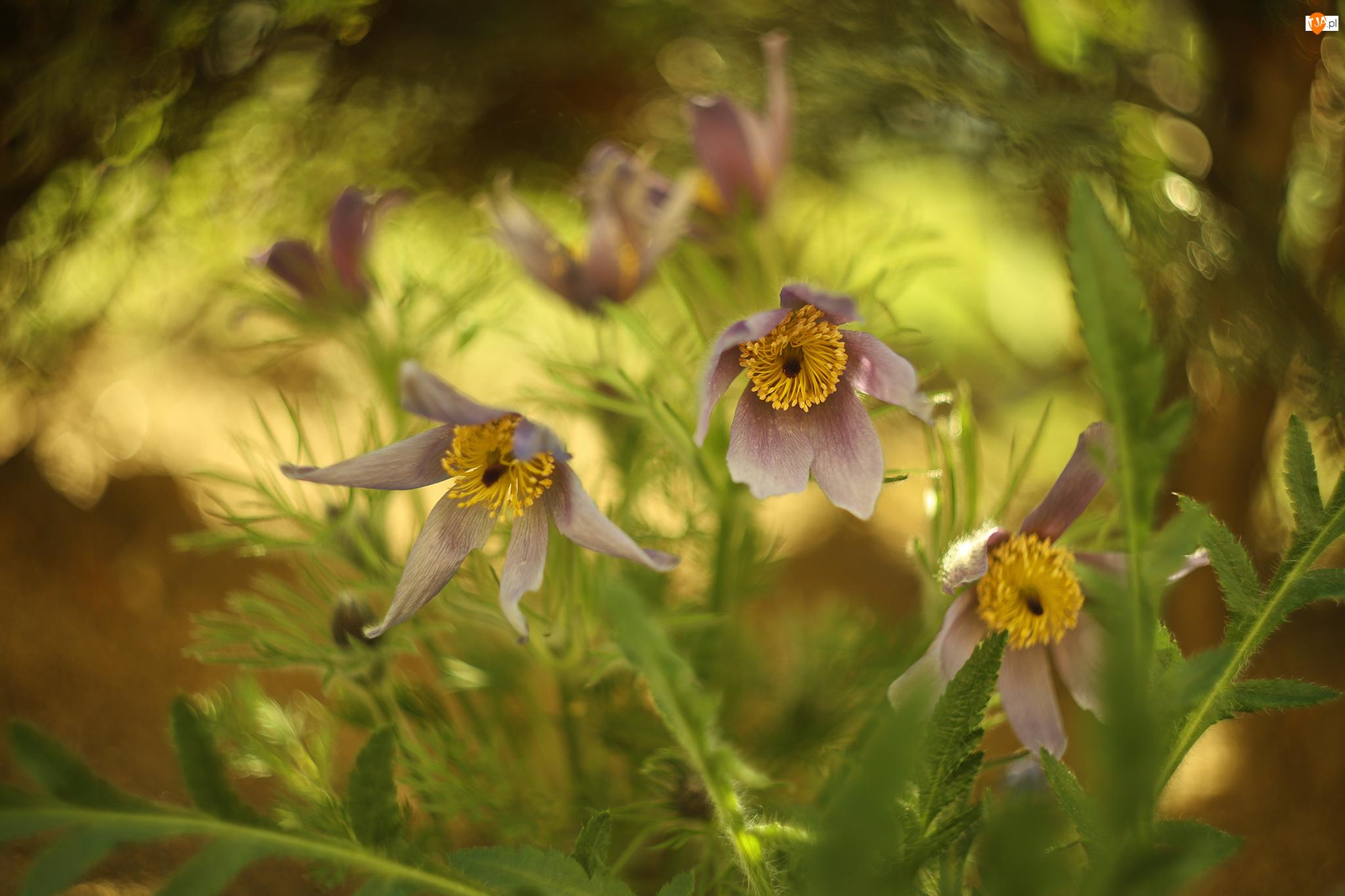 Kwiaty, Rozkwitające, Sasanki, Fioletowe